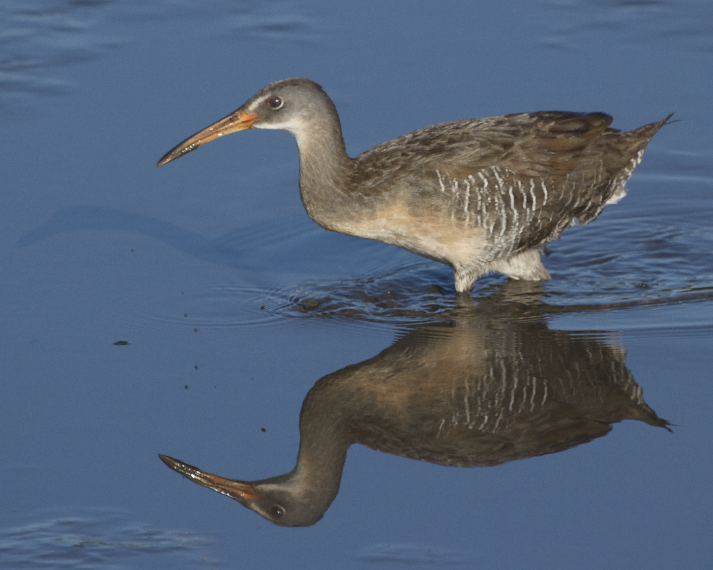 The Clapper Rail, also known as a Mud Hen is really one TOUGH MUDDER too!
