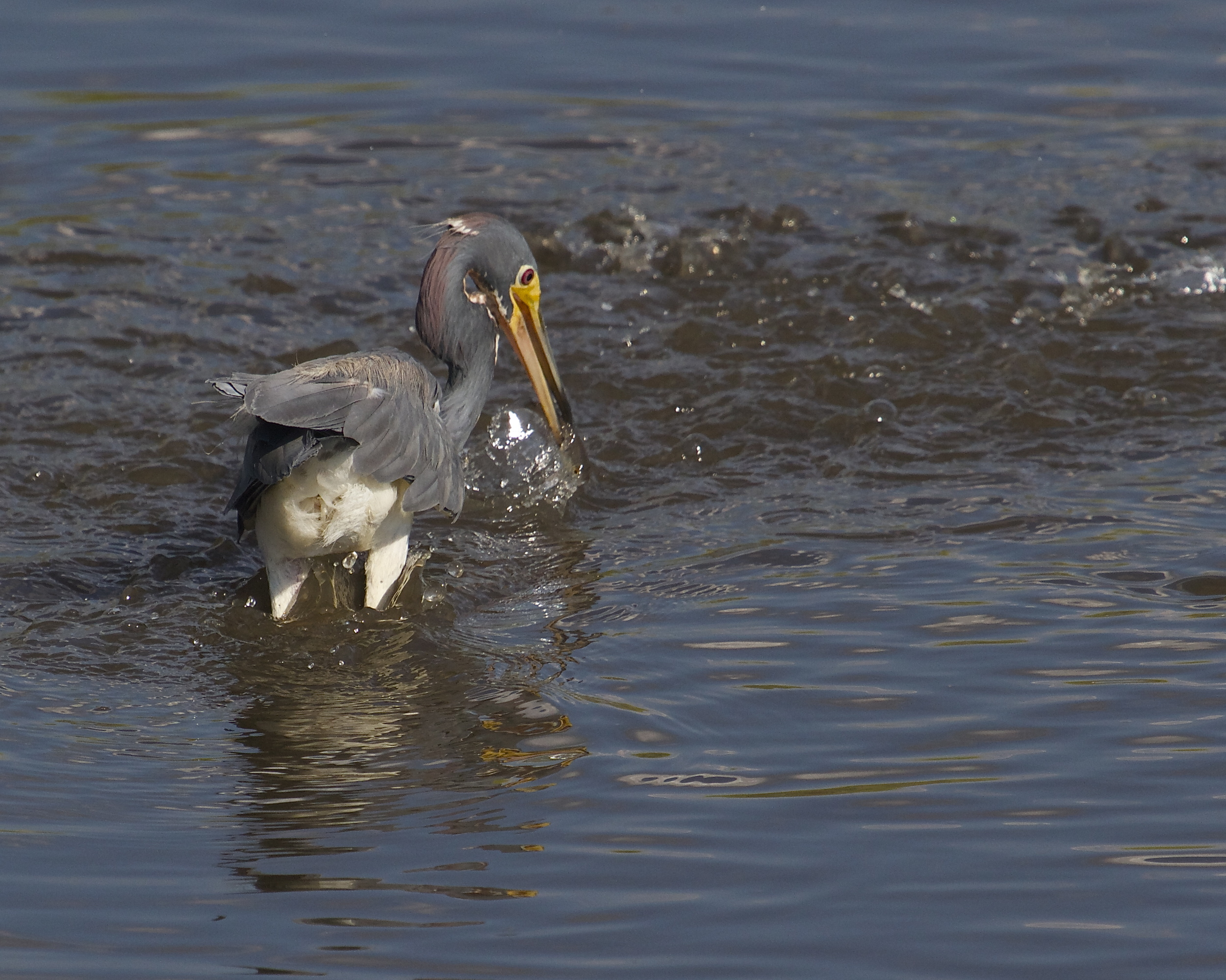 A swirling school of minnows surround the Heron, the hunter strikes.