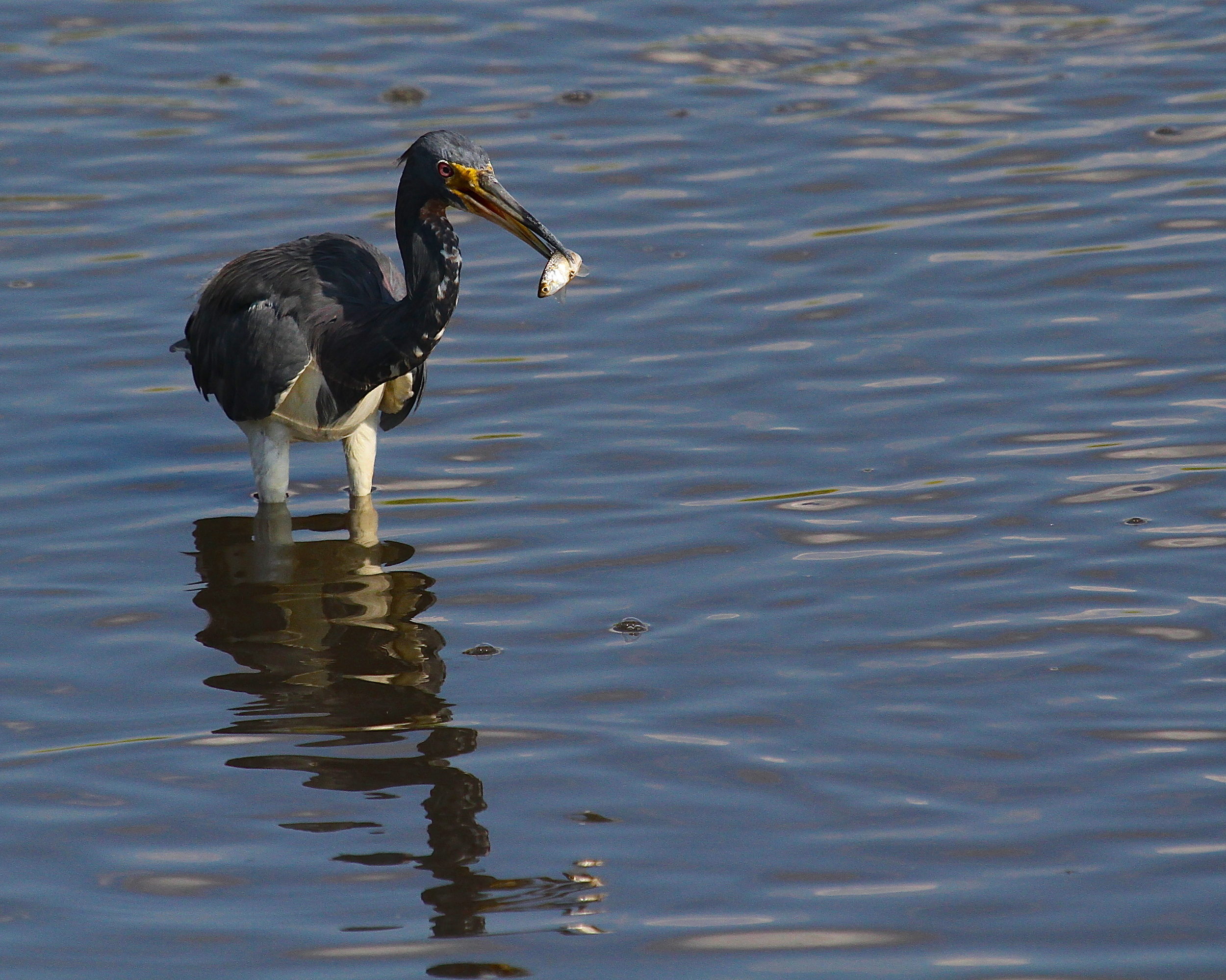 The Tricolored Heron harpoons a nice fat minnow for supper!