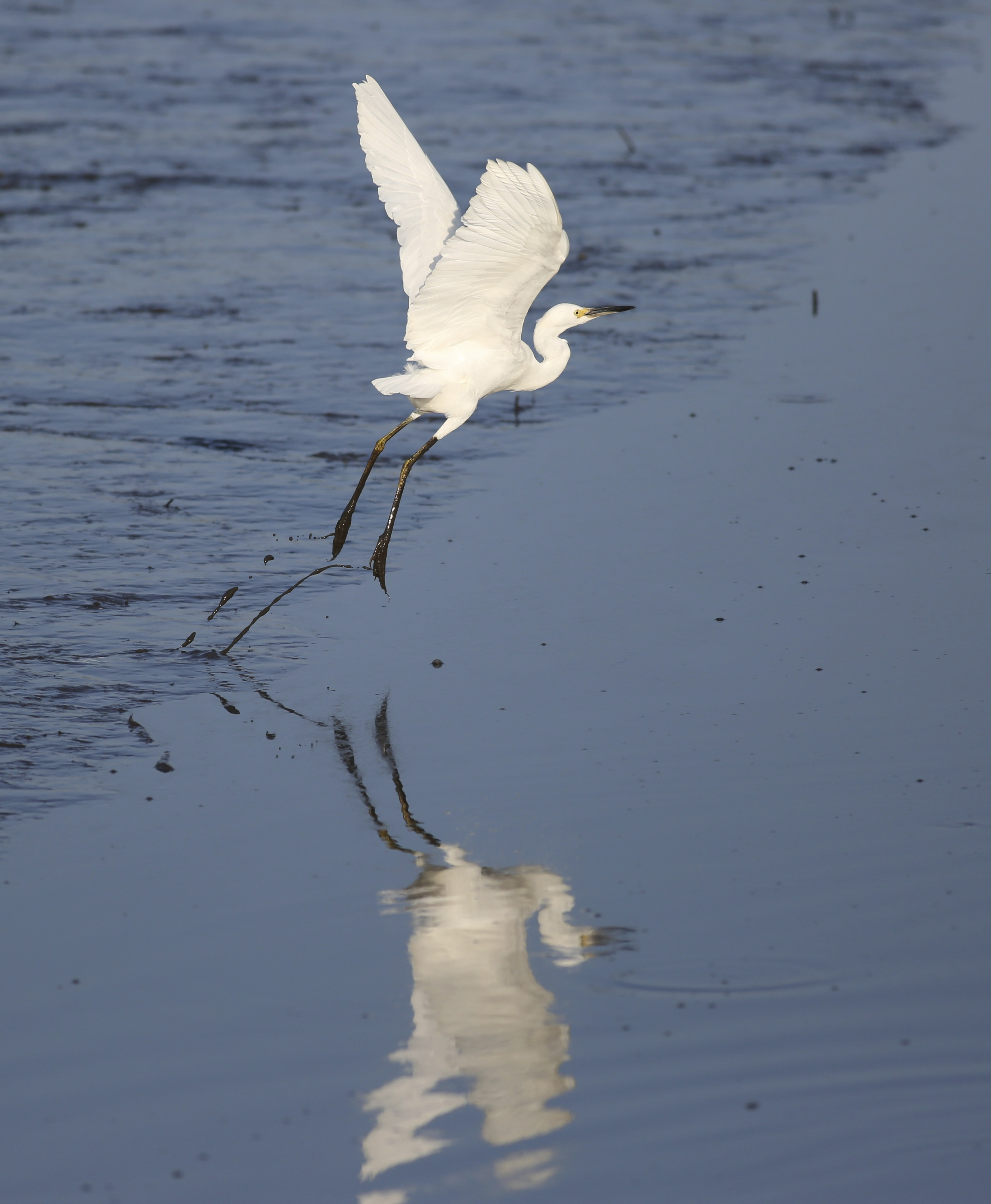 A Snowy Egret briefly touches down and takes off again...