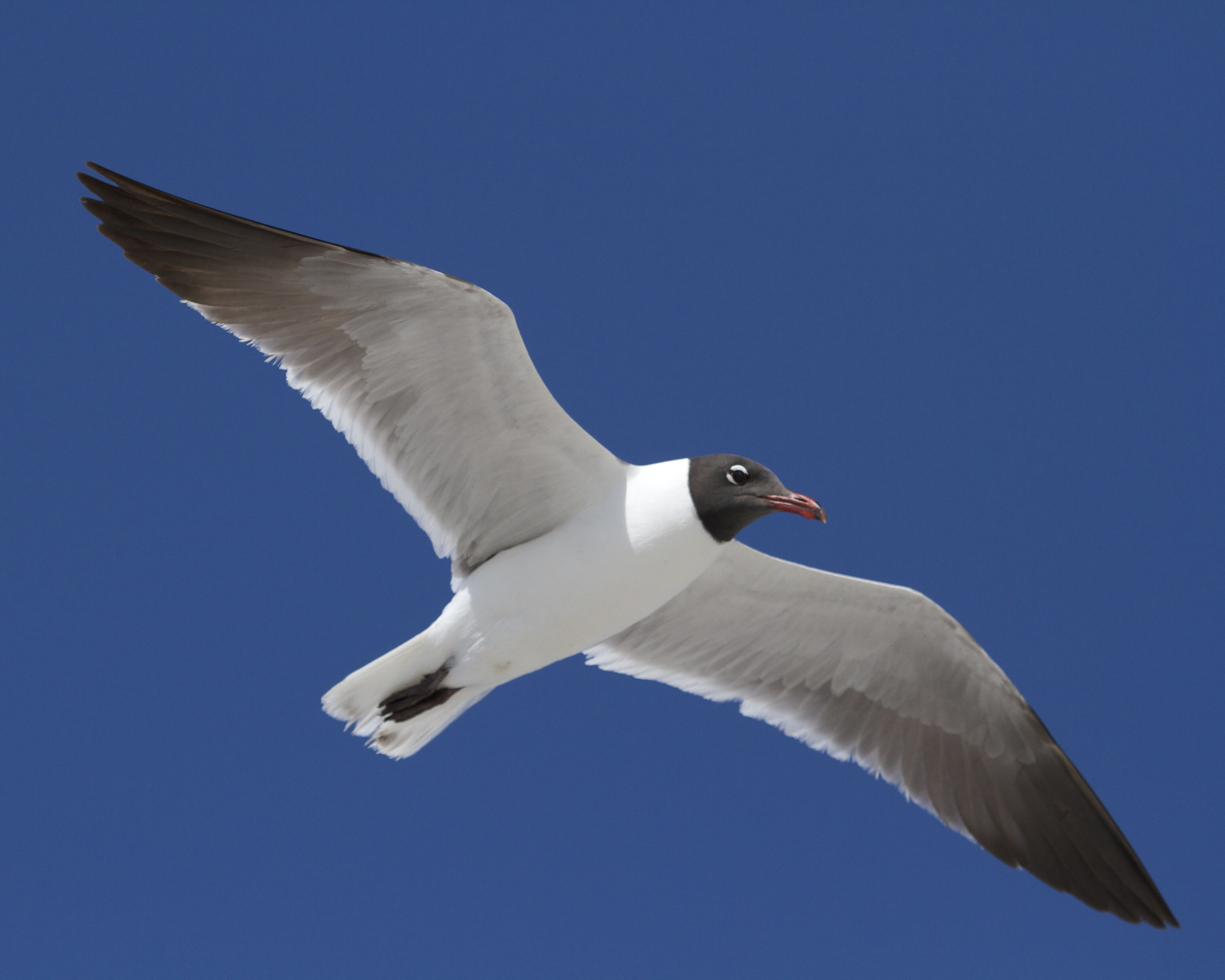 Photo number three. Male Laughing Gull taken before UBICA implementation and start of Breeding season.