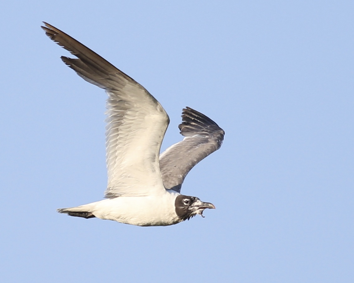 Photo number four. Same male Laughing Gull after UBICA implemented (and breeding season over).