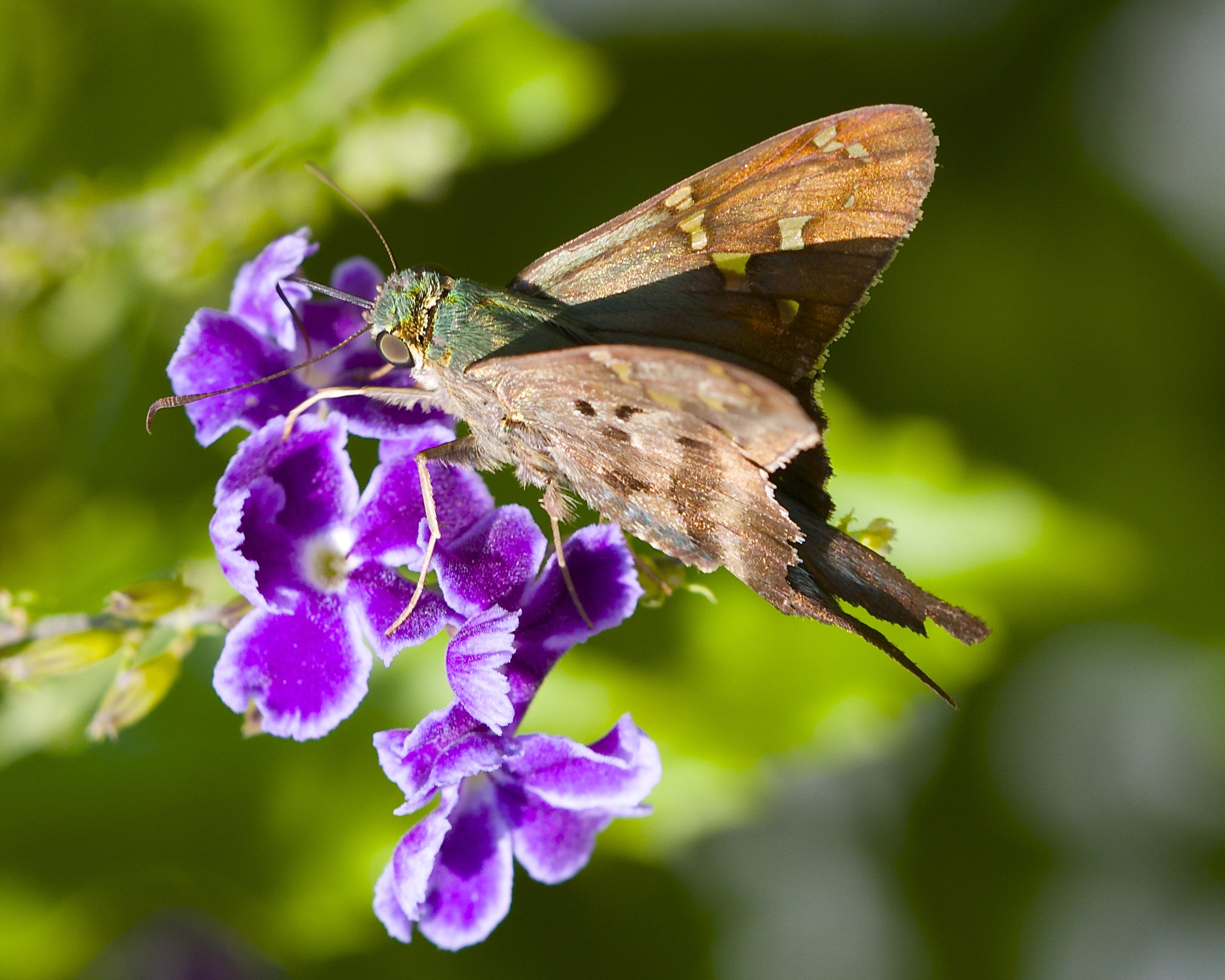 Long Tailed Skipper Butterfly (note the long Proboscis).