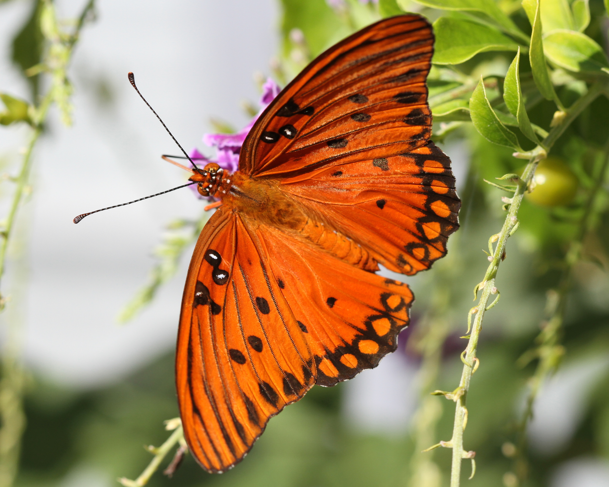 A Gulf Fritillary or passion butterfly