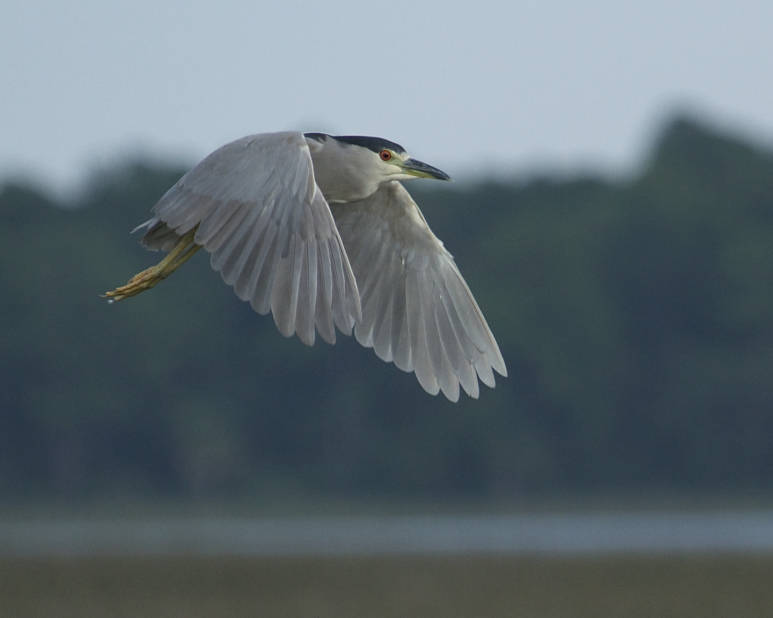 Something spooks about a half dozen night herons from their roosting tree…but what?