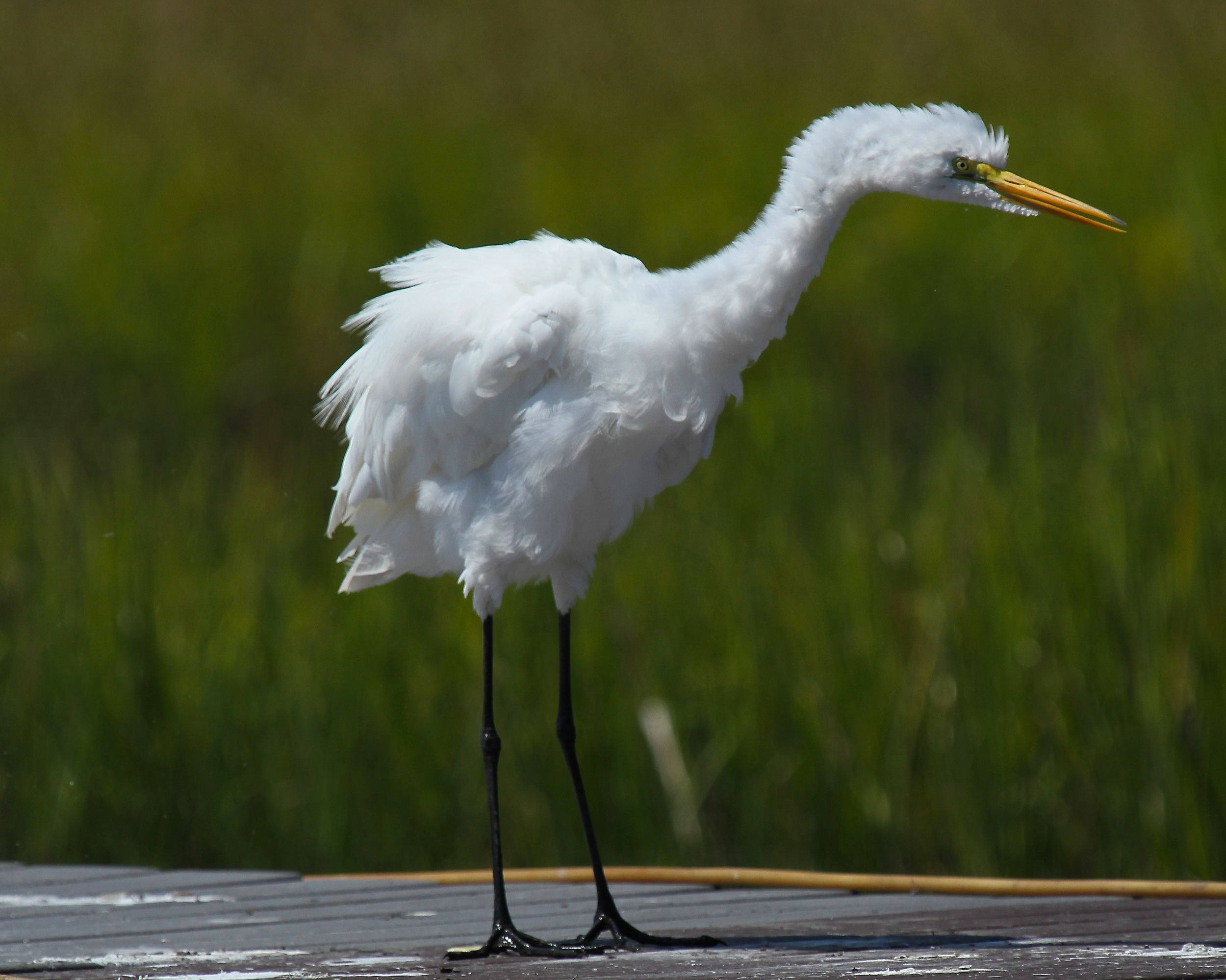 The Great Egret is really upset over something it saw too!