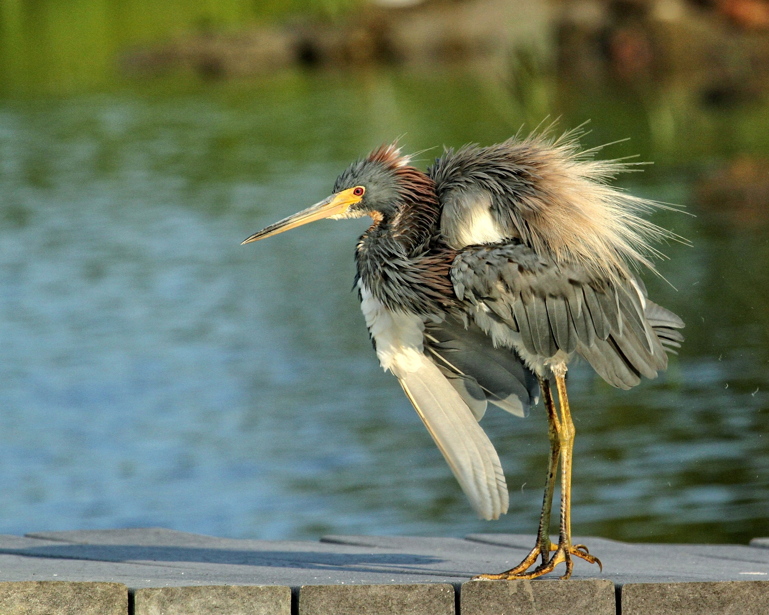 The Black Crowned night herons are not the only ones ruffled..so is the Tricolored Heron...