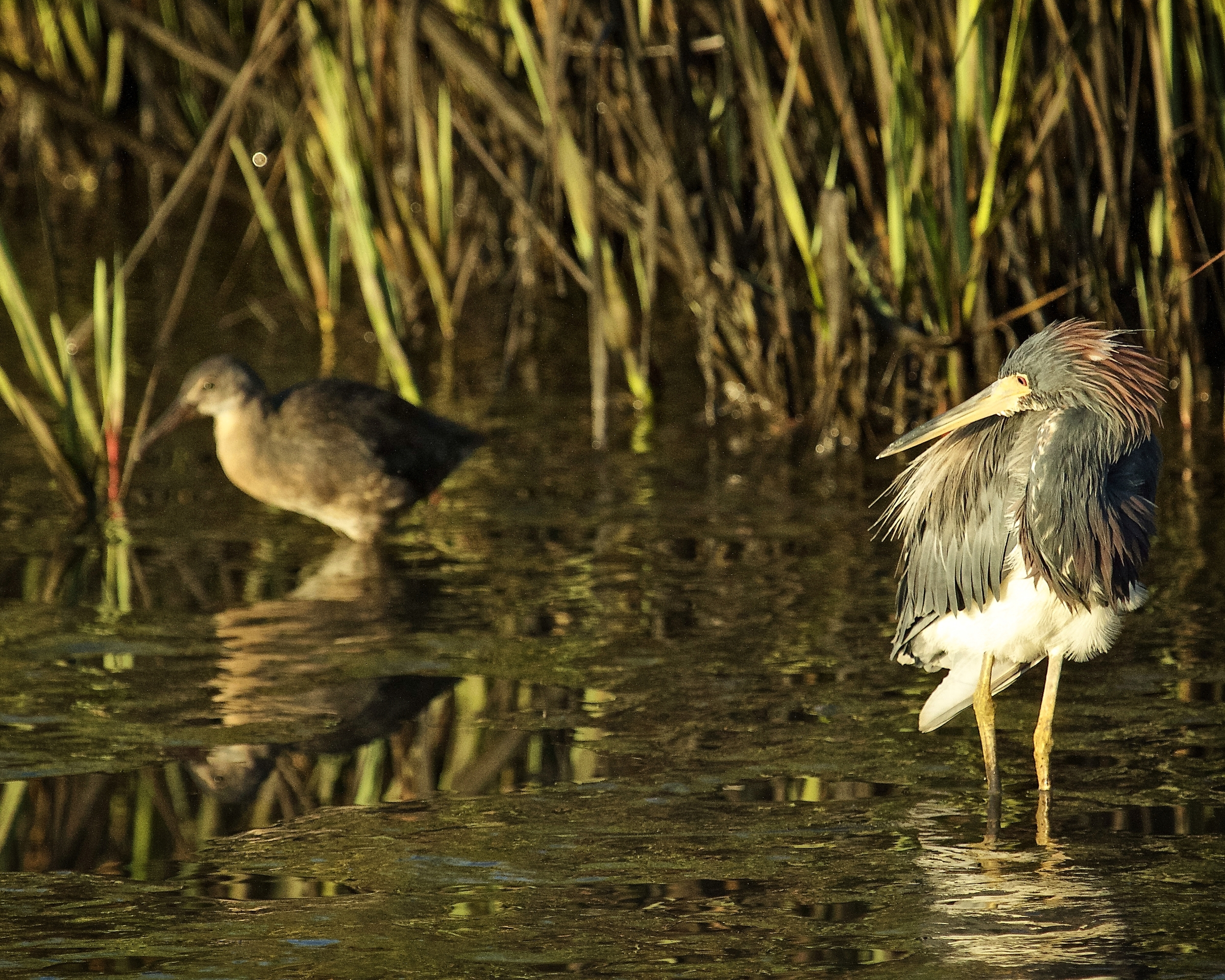 "The Tricolored Heron spots her and decides to "" pull a few feathers over her eyes"" ..Nellie, Did you hear about the Red Eyed Night Ghost?"
