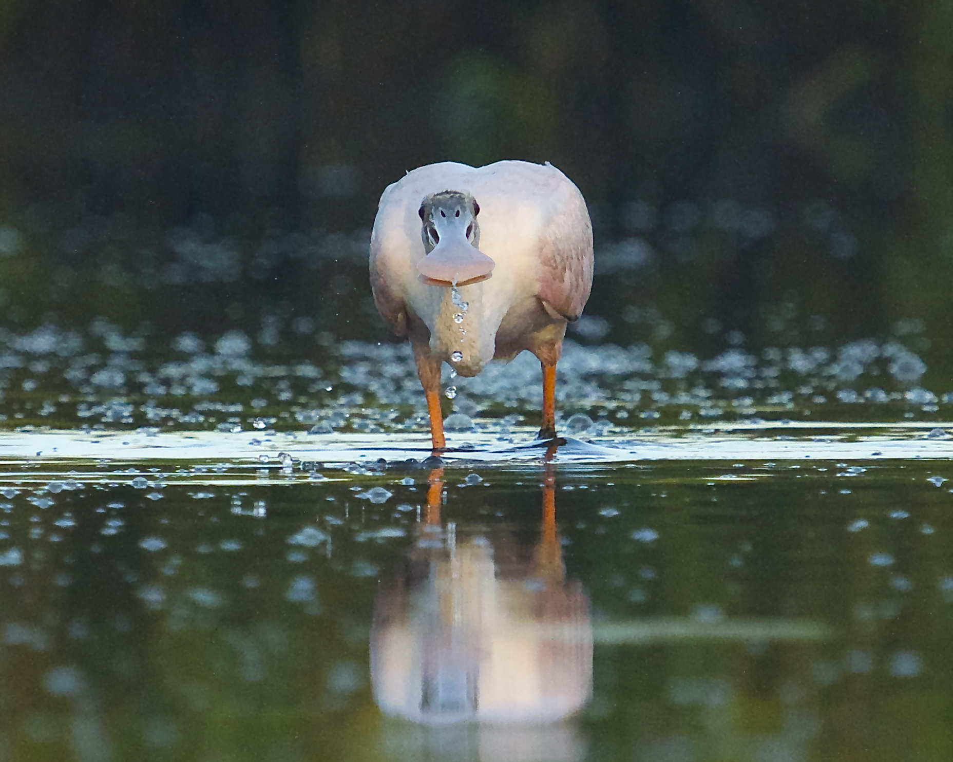 I am peering through my lens at a real perturbed looking pink bird..