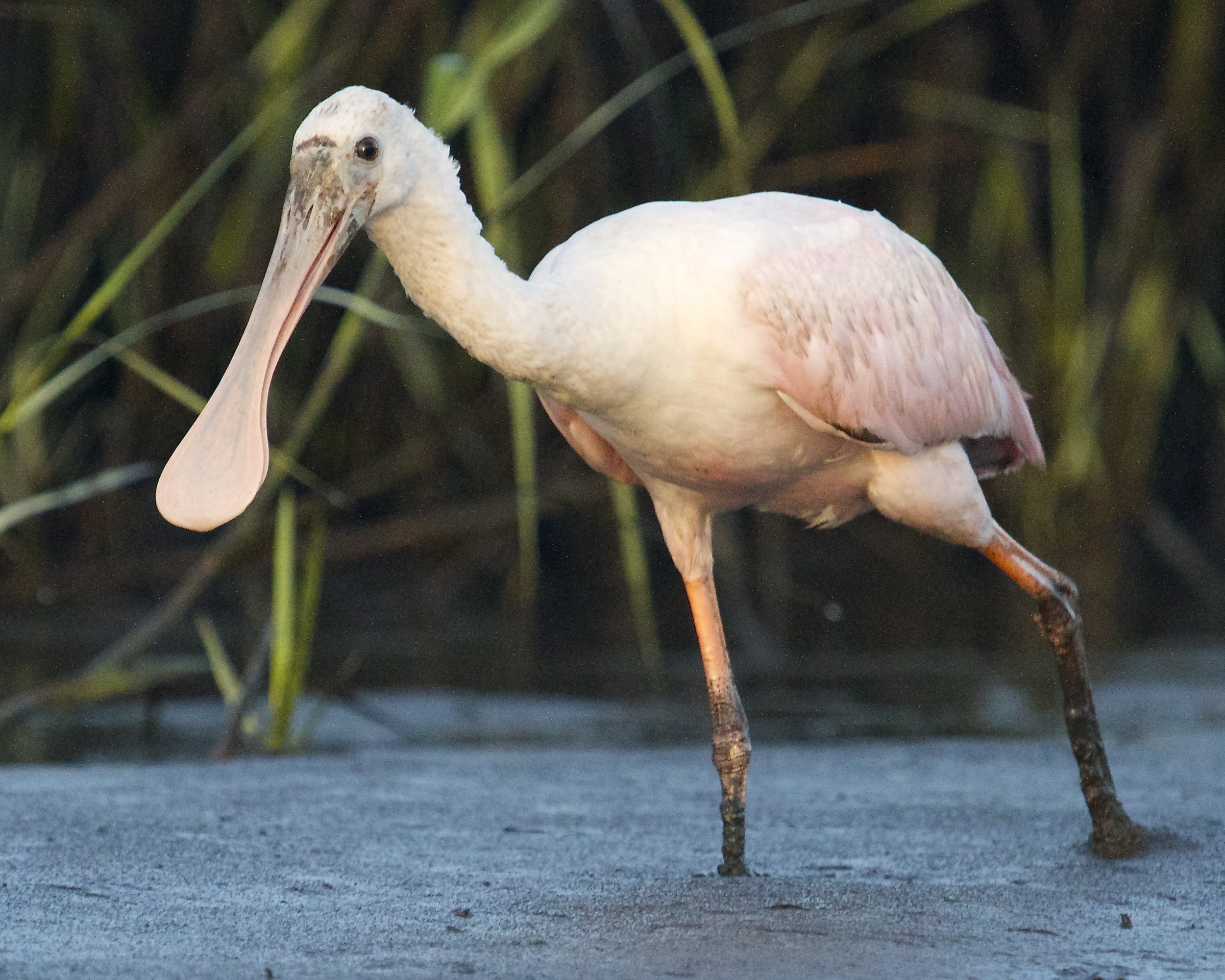 The spoonbill gets out of the water and marches right up to me.