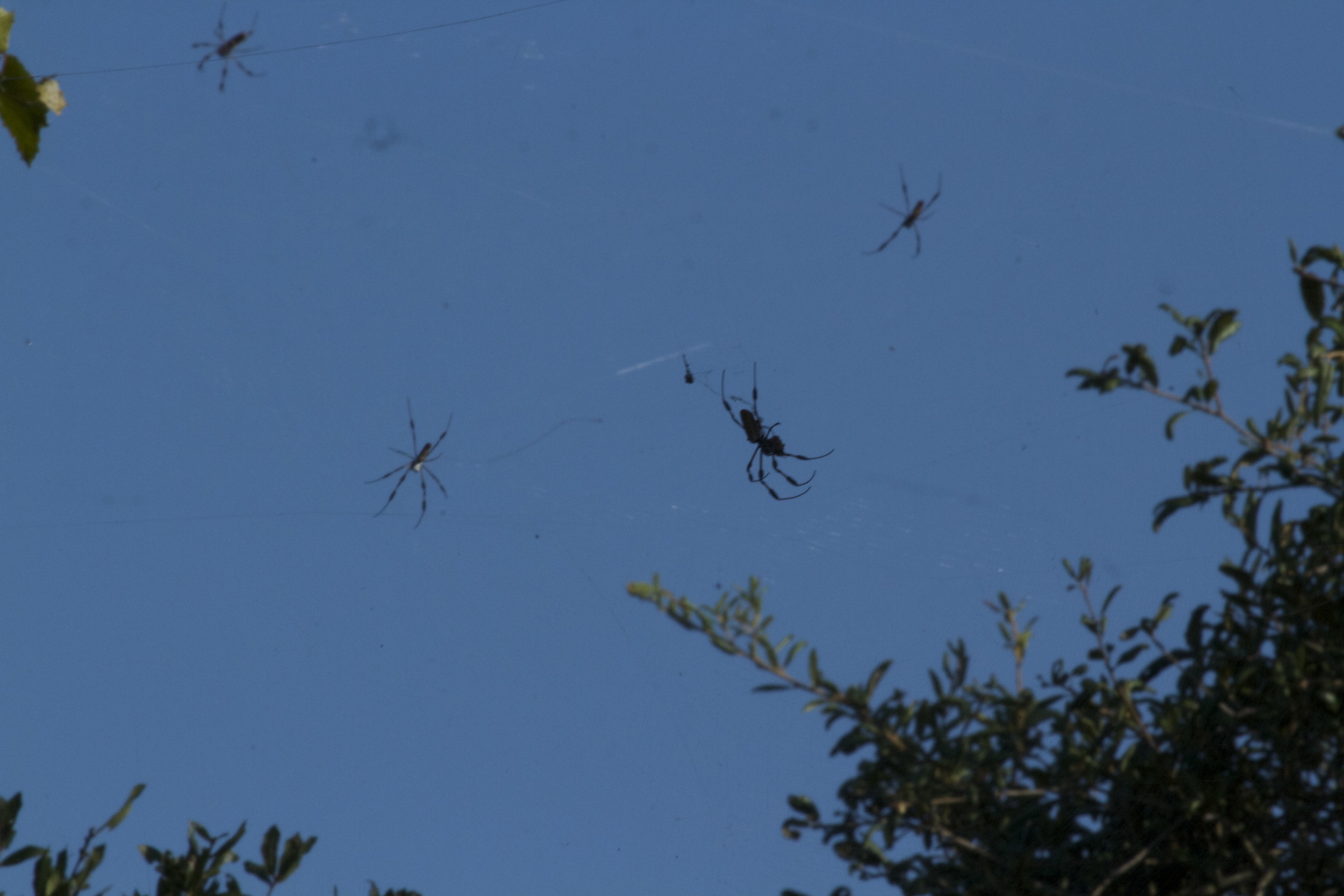 A closer look shows the sky nearly covered with cobwebs and spiders. A flying bug would find it hard to avoid this trap.