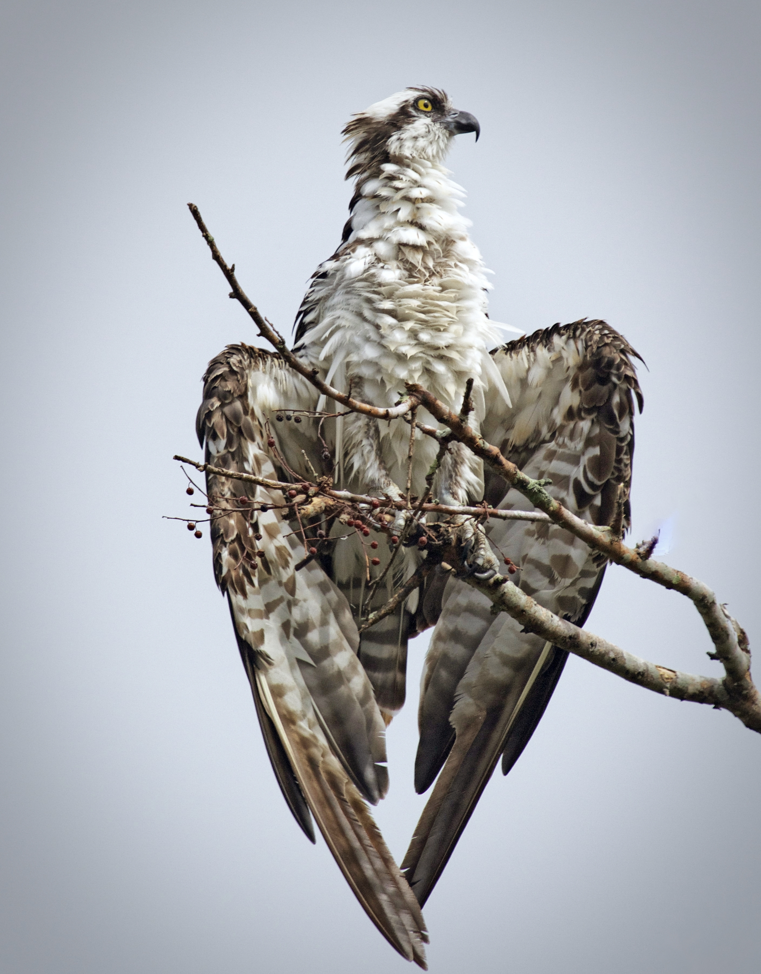 A lone Osprey sits drying out its wings and trying to cool off.