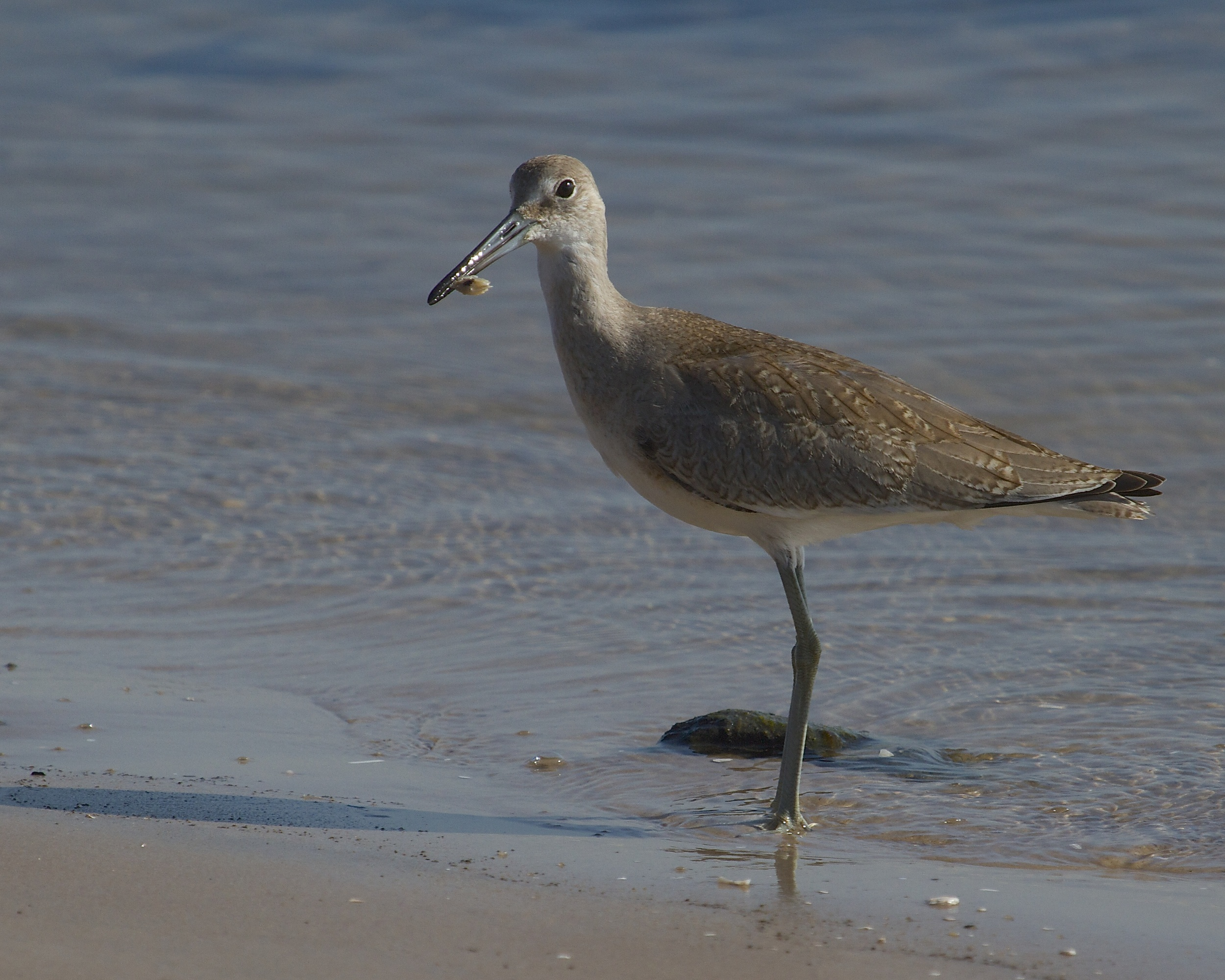 The Willet finds a tasty tidbit in the sand..
