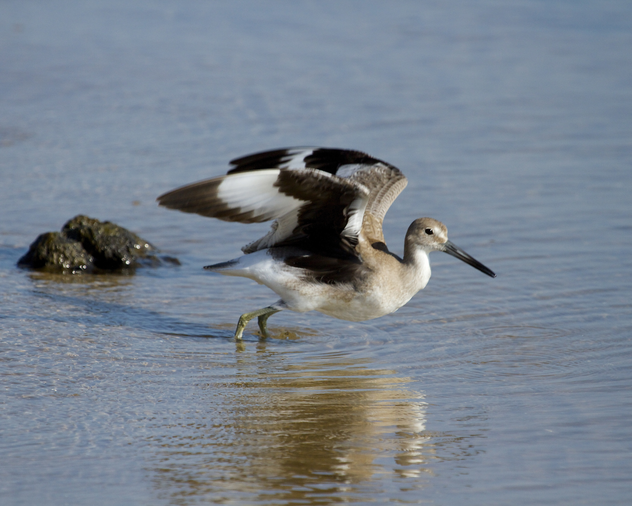The Willet prepares to take wing!