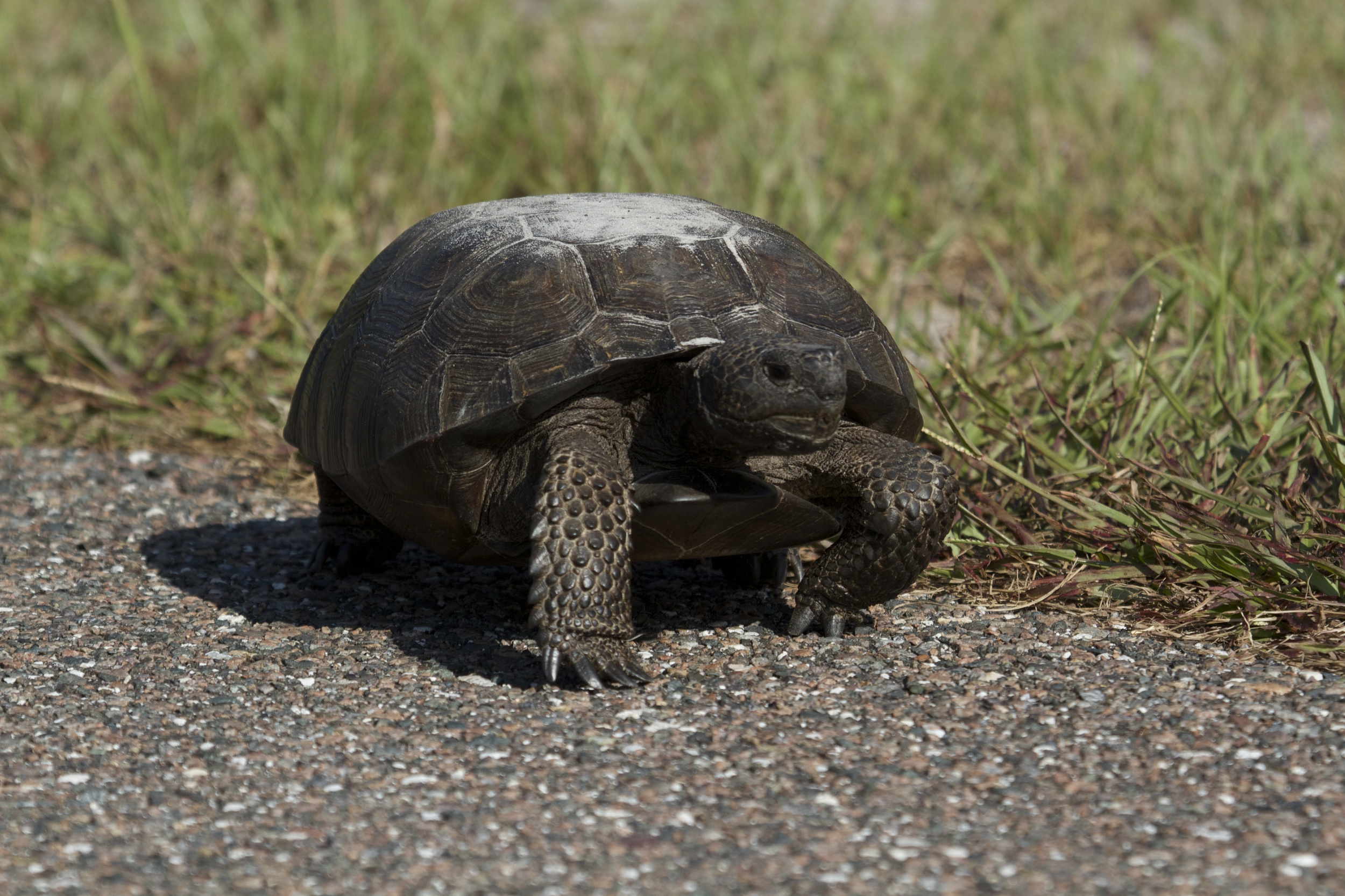 So why did the Gopher Tortoise cross the road? To stop traffic I think.