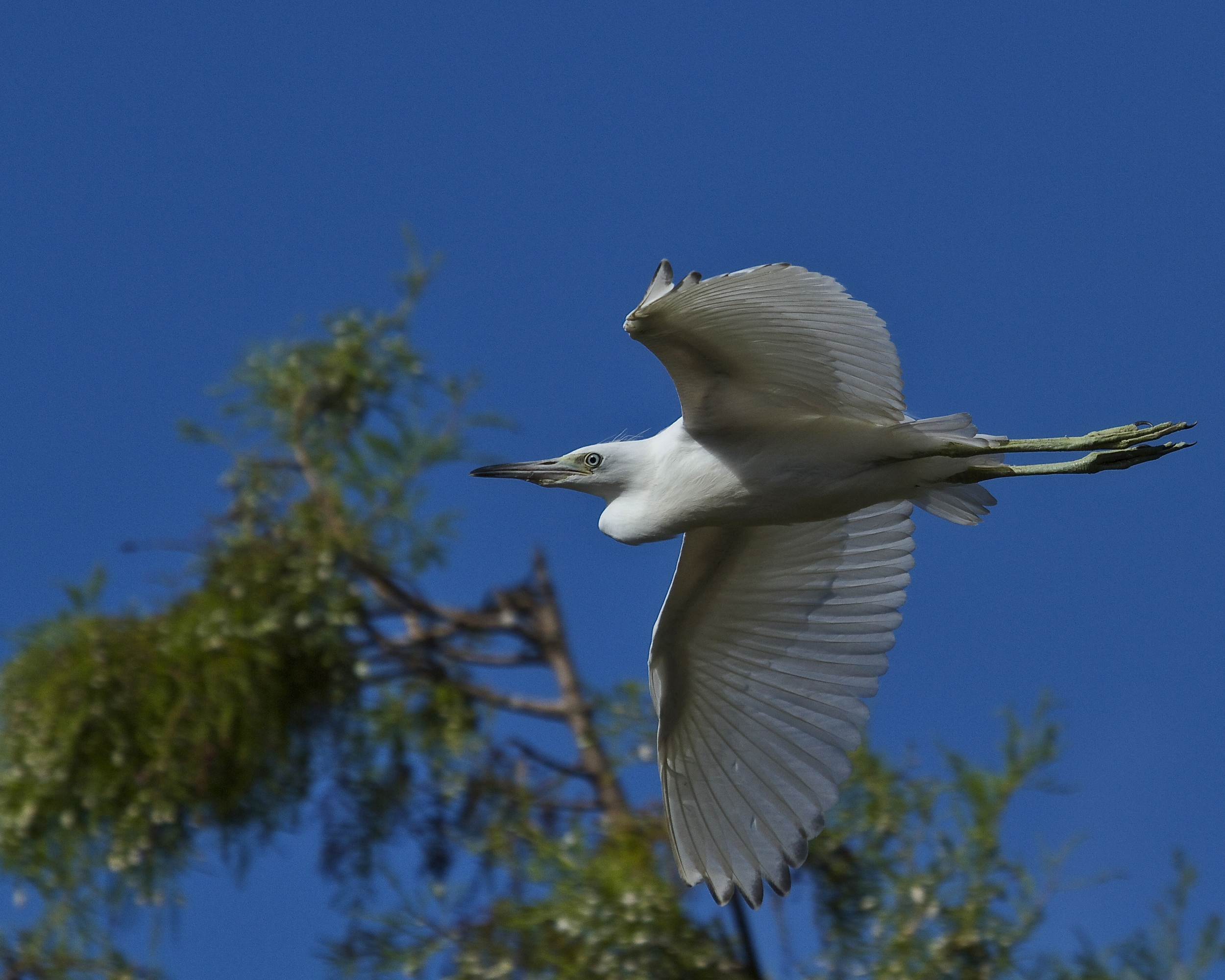 Come on, have a piece of pumpkin pie and let's watch the sky dancers! Little Blue Heron (Juvenile) glides by.