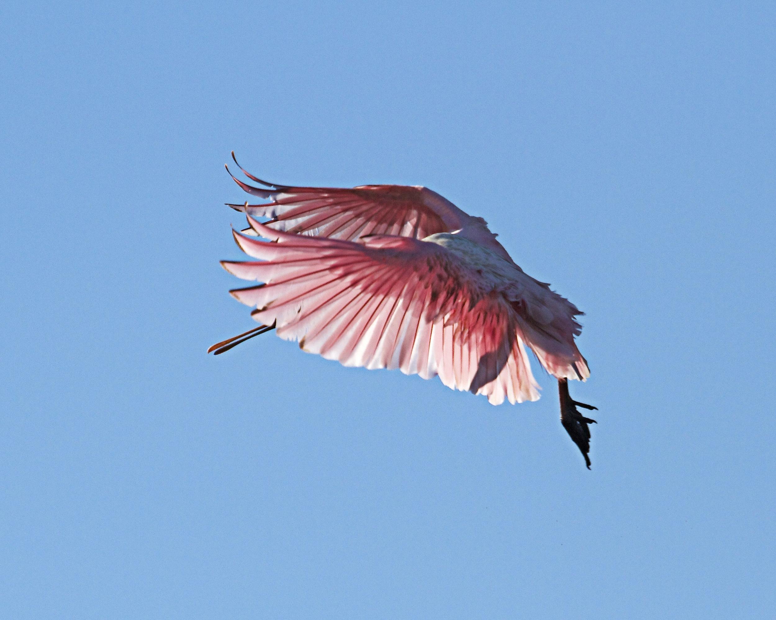 A pink angle's sunlit Plie.