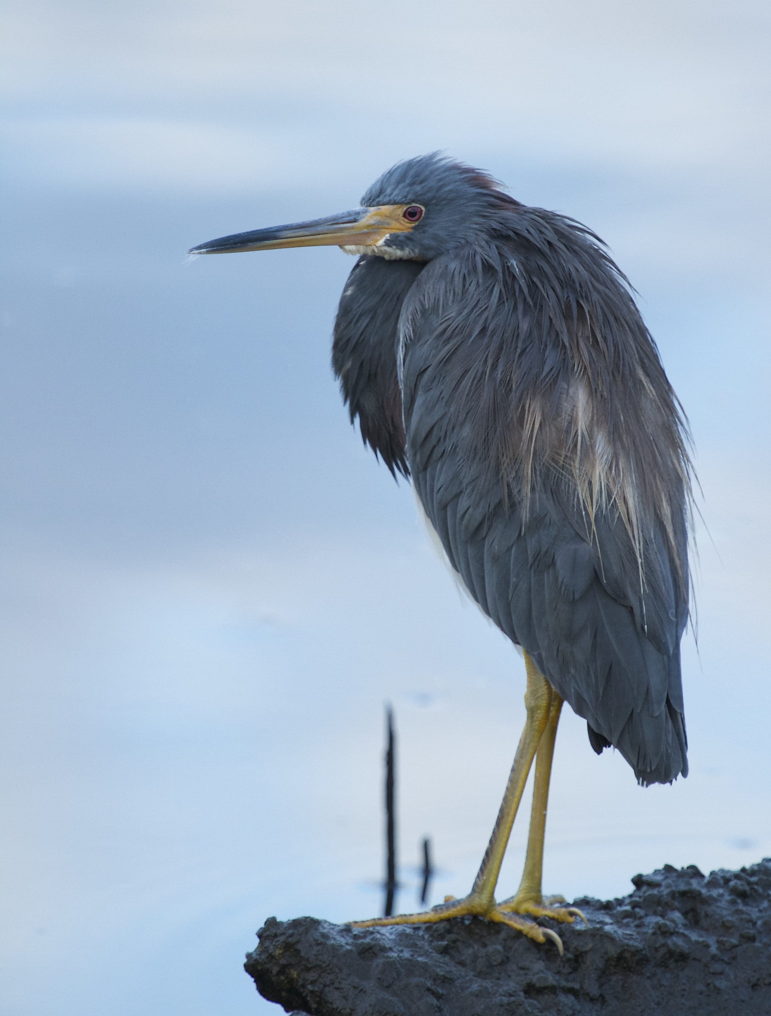 The early bird, a Tricolored Heron greets me in the predawn light and patiently waits..