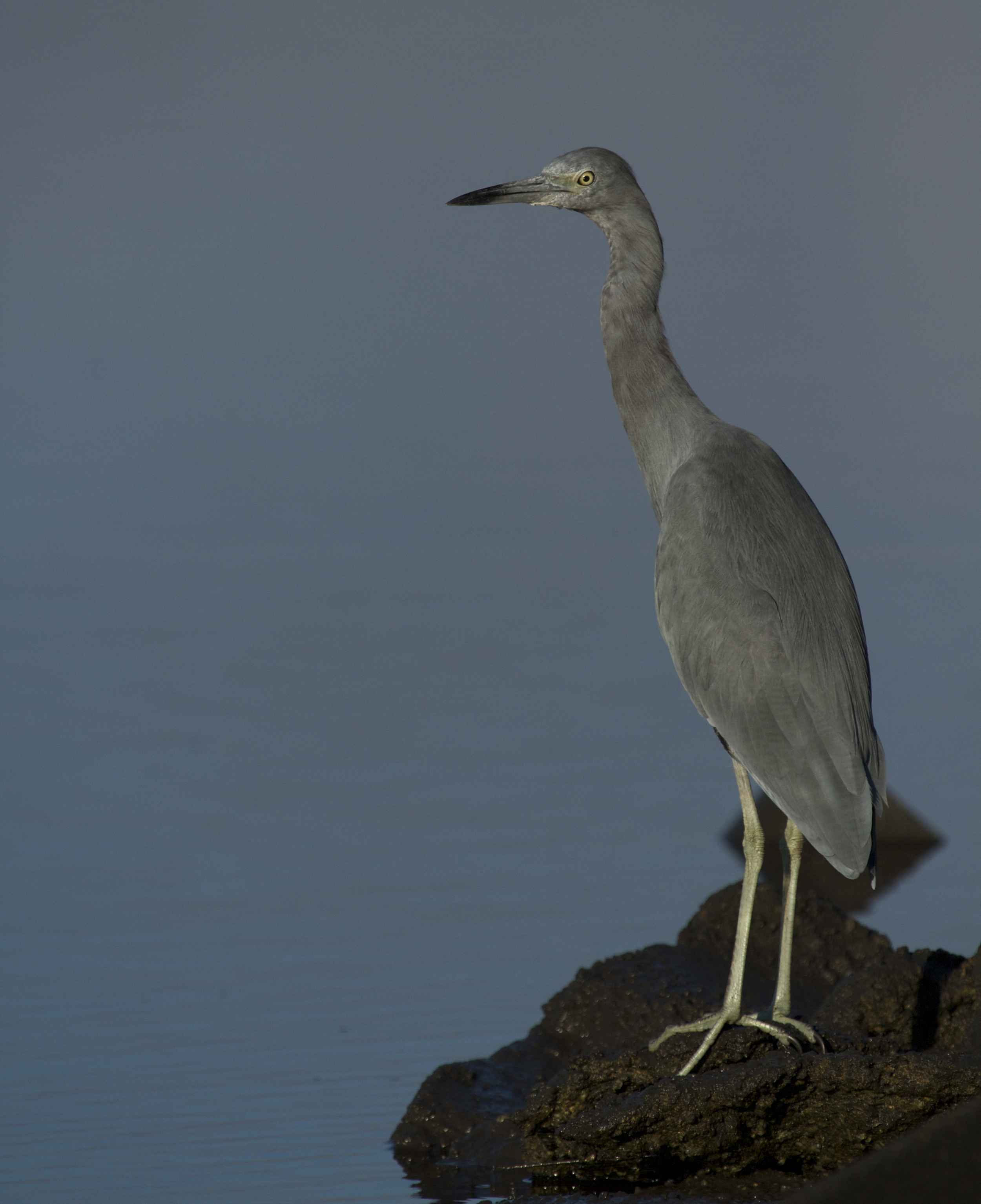 A young Little Blue Heron is also up early..