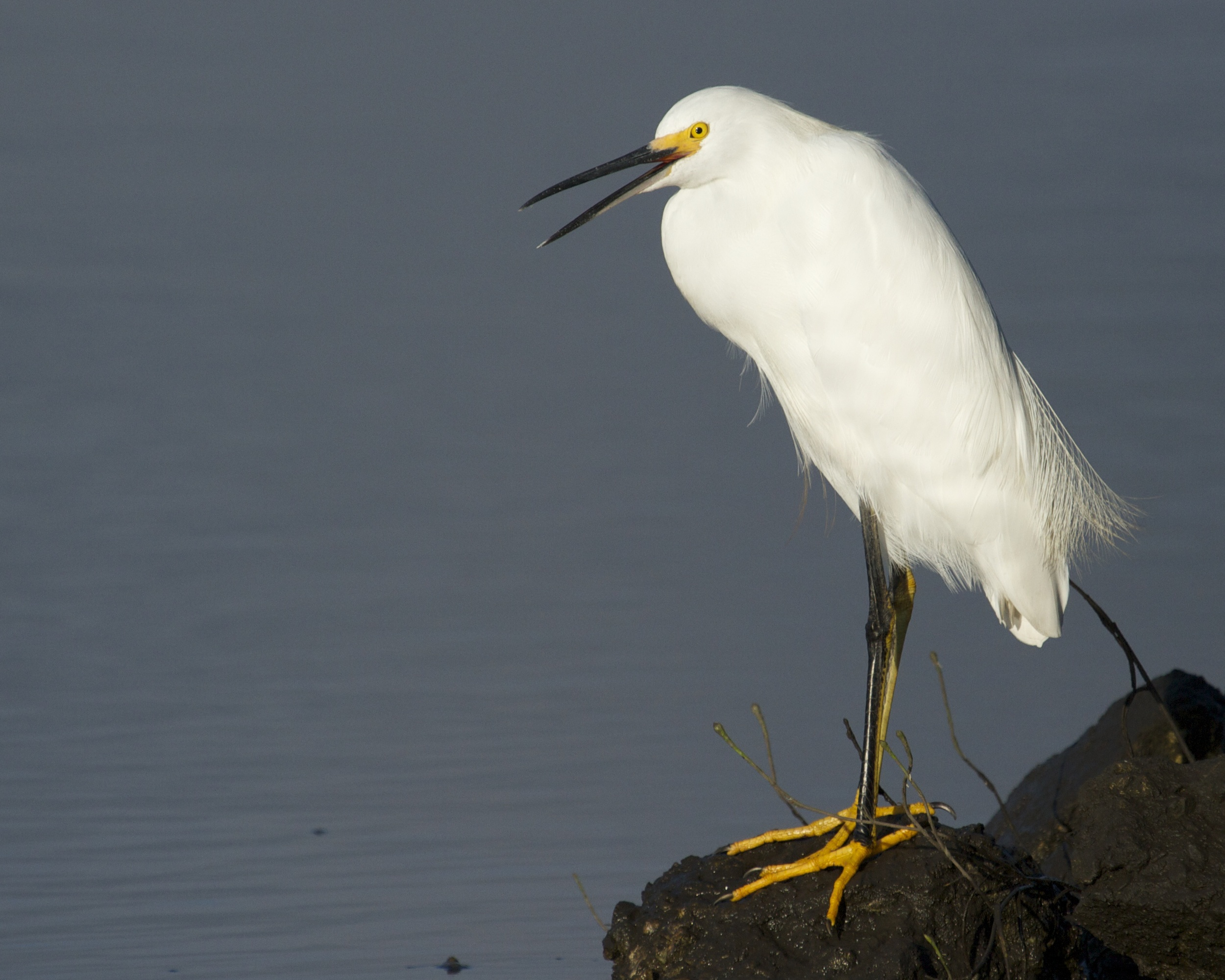 Don't scare the fish quips the Snowy Egret! And get that doohickey outta here..
