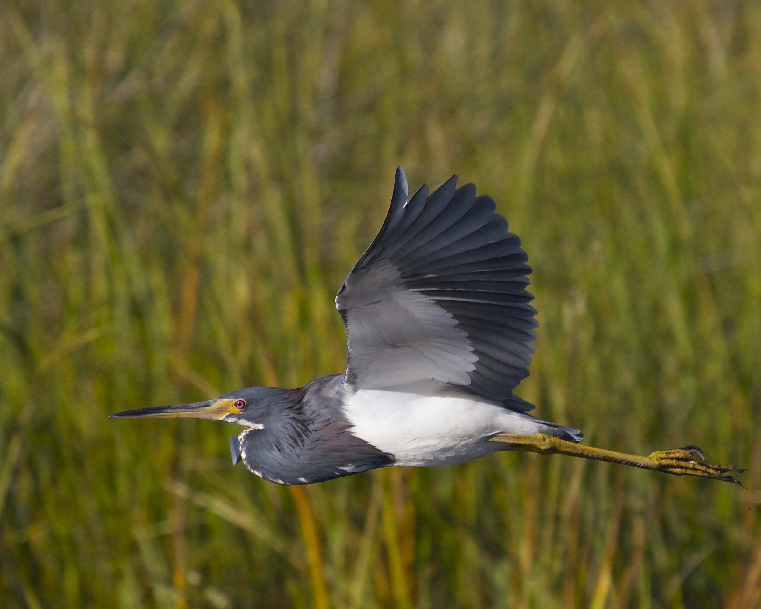 My Tricolored Heron friend flies in...