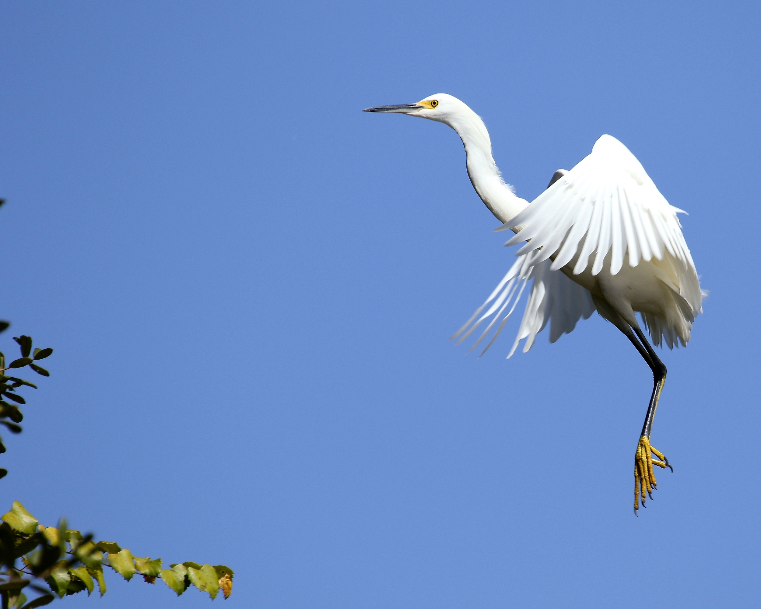 The Snowy Egret takes flight then quickly returns to the hideout..