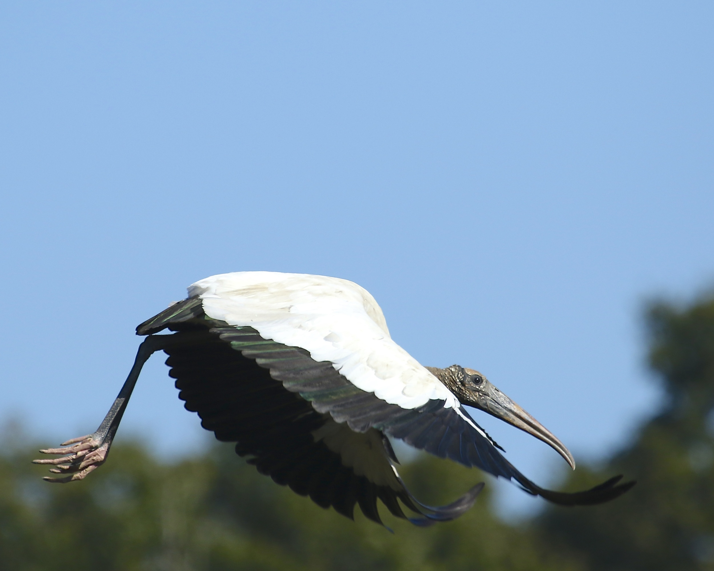 The wood stork grudgingly  gives up its roost