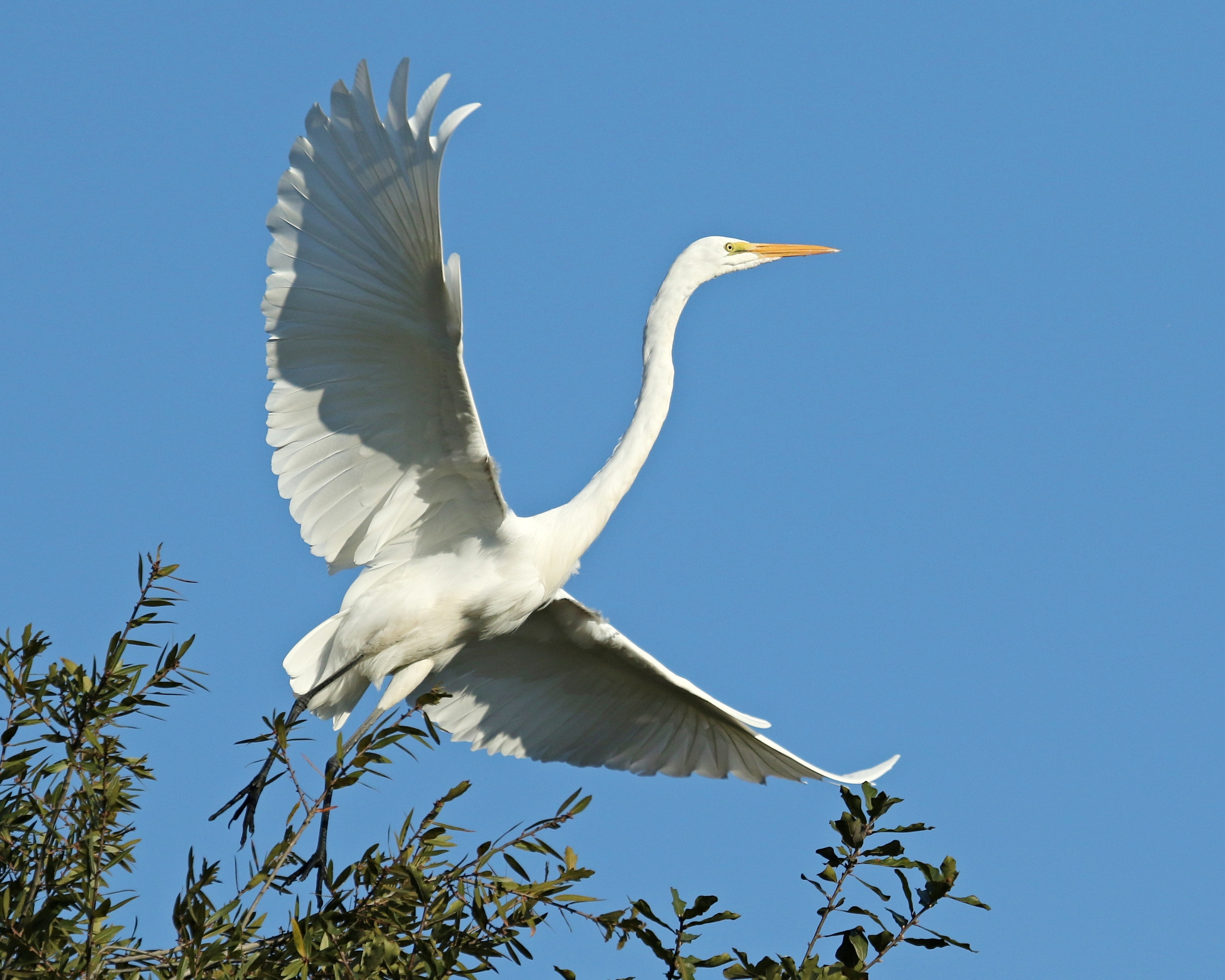 With angel like wings the Egret gently rises..