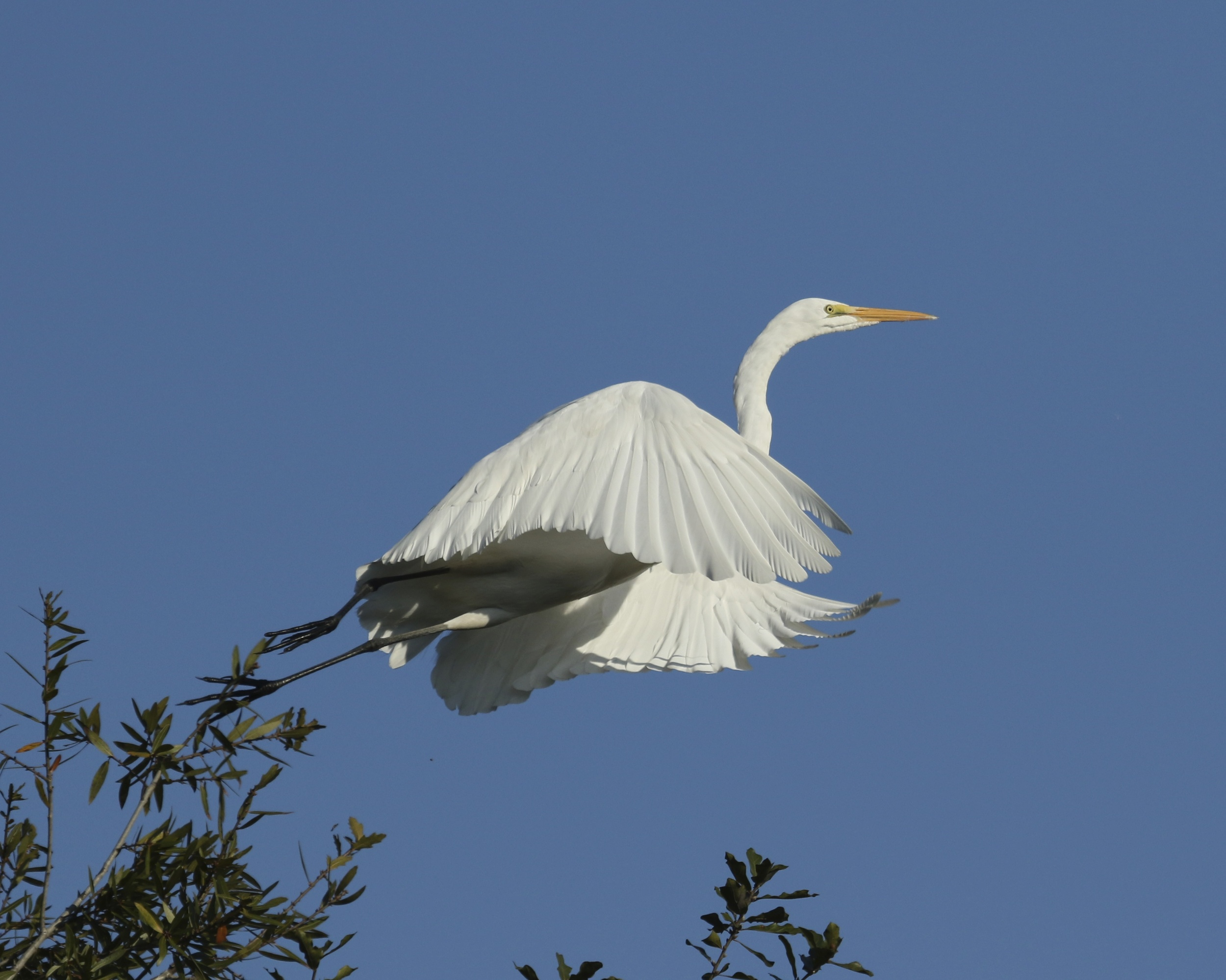 Graceful wings reach forward as it clears the branches...