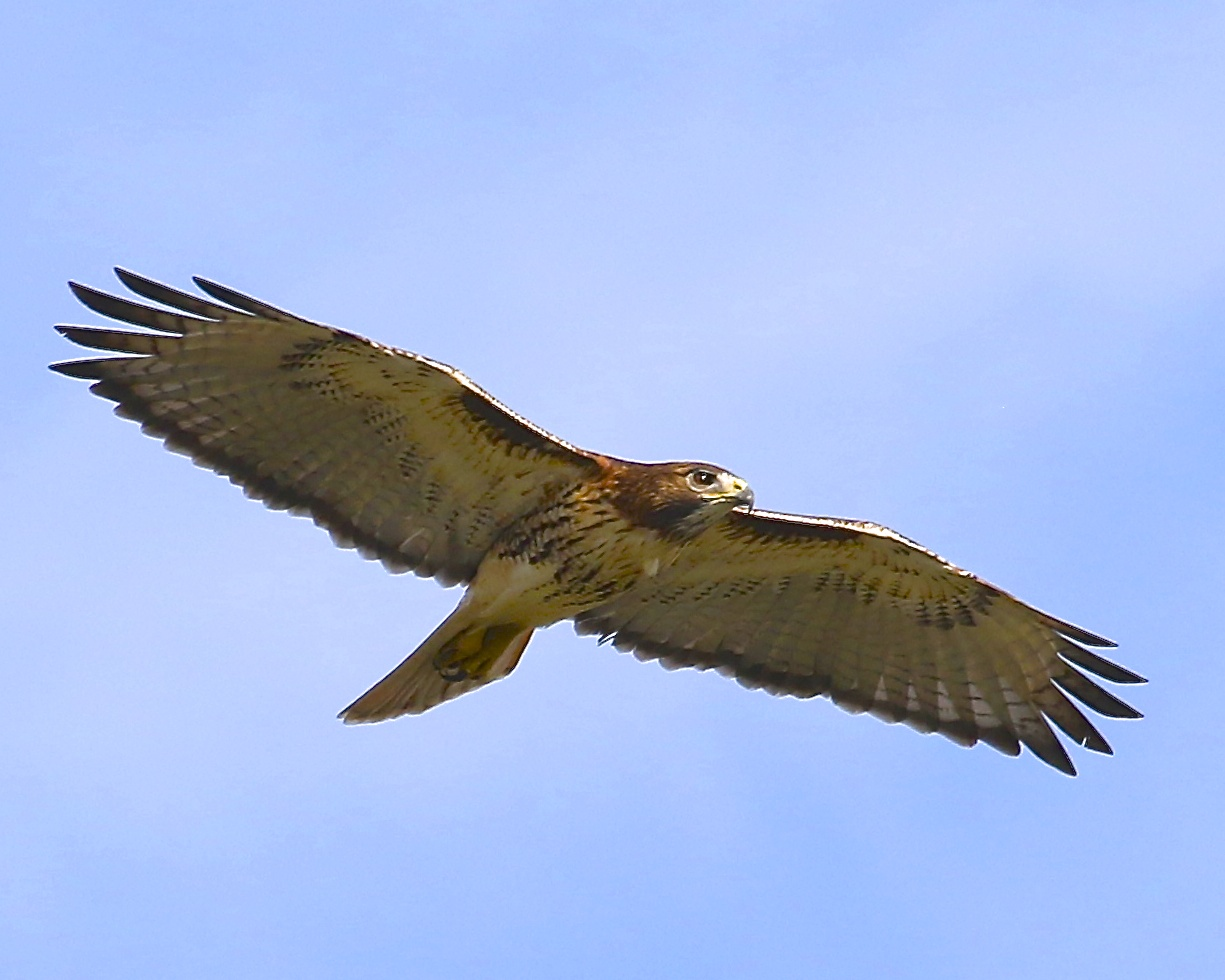 The Red Tailed Hawk is a common raptor found on the Broward.