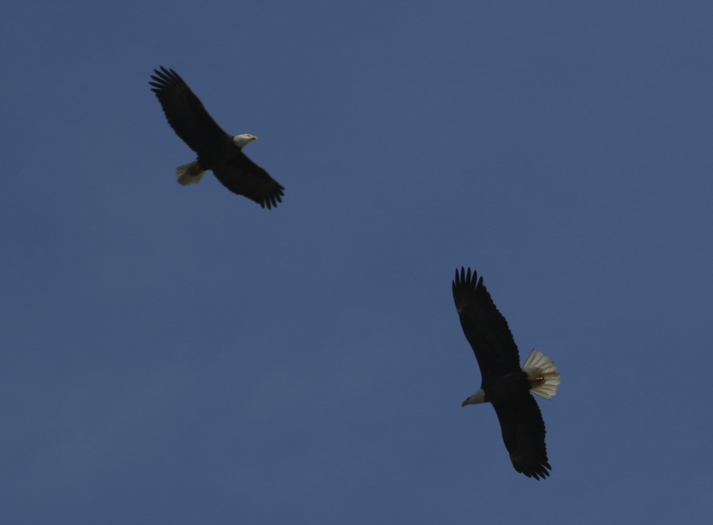 Mating pair of Bald Eagles soar over the Broward near my home. The female is the larger of the pair.