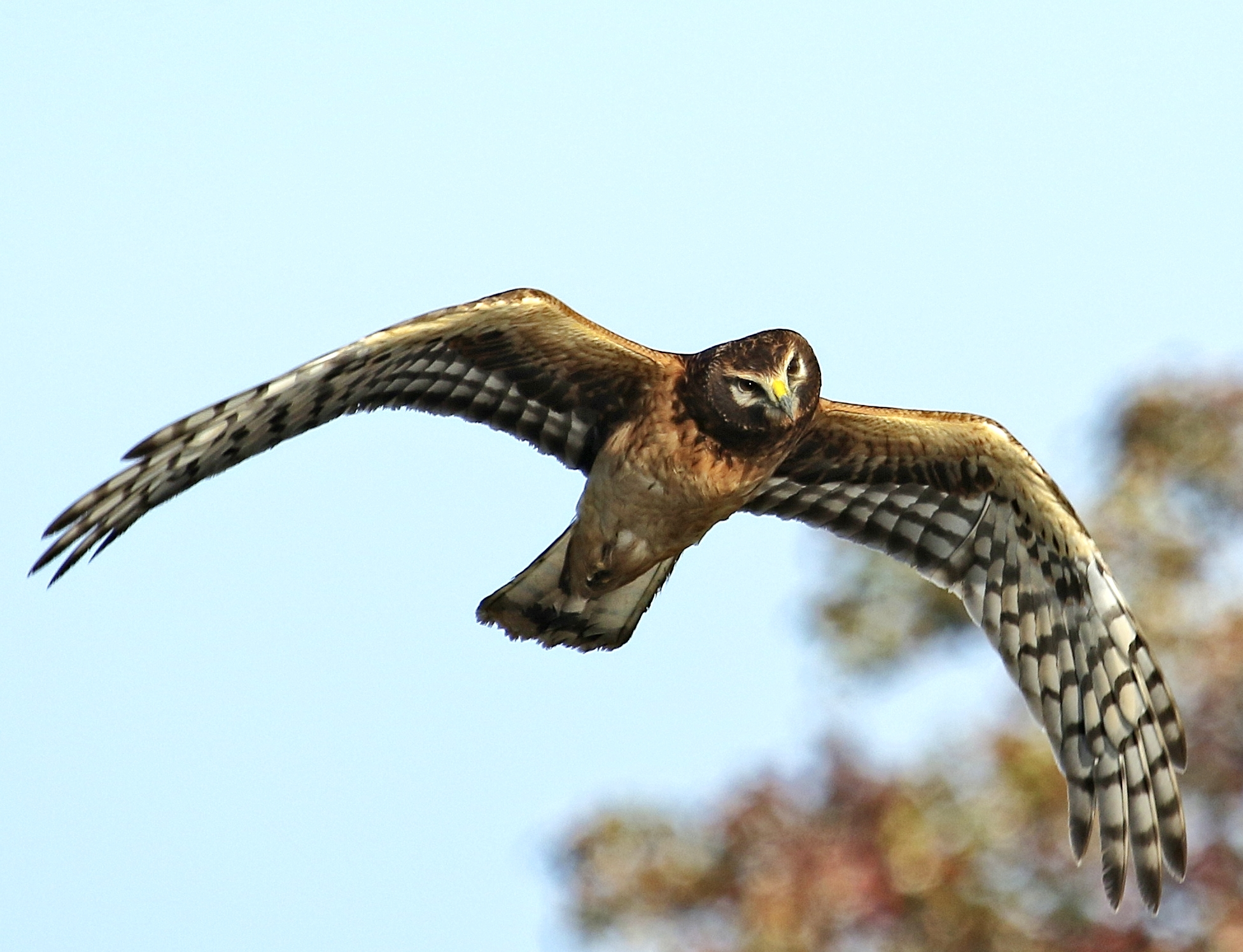 Northern Harrier female in recent fly by.