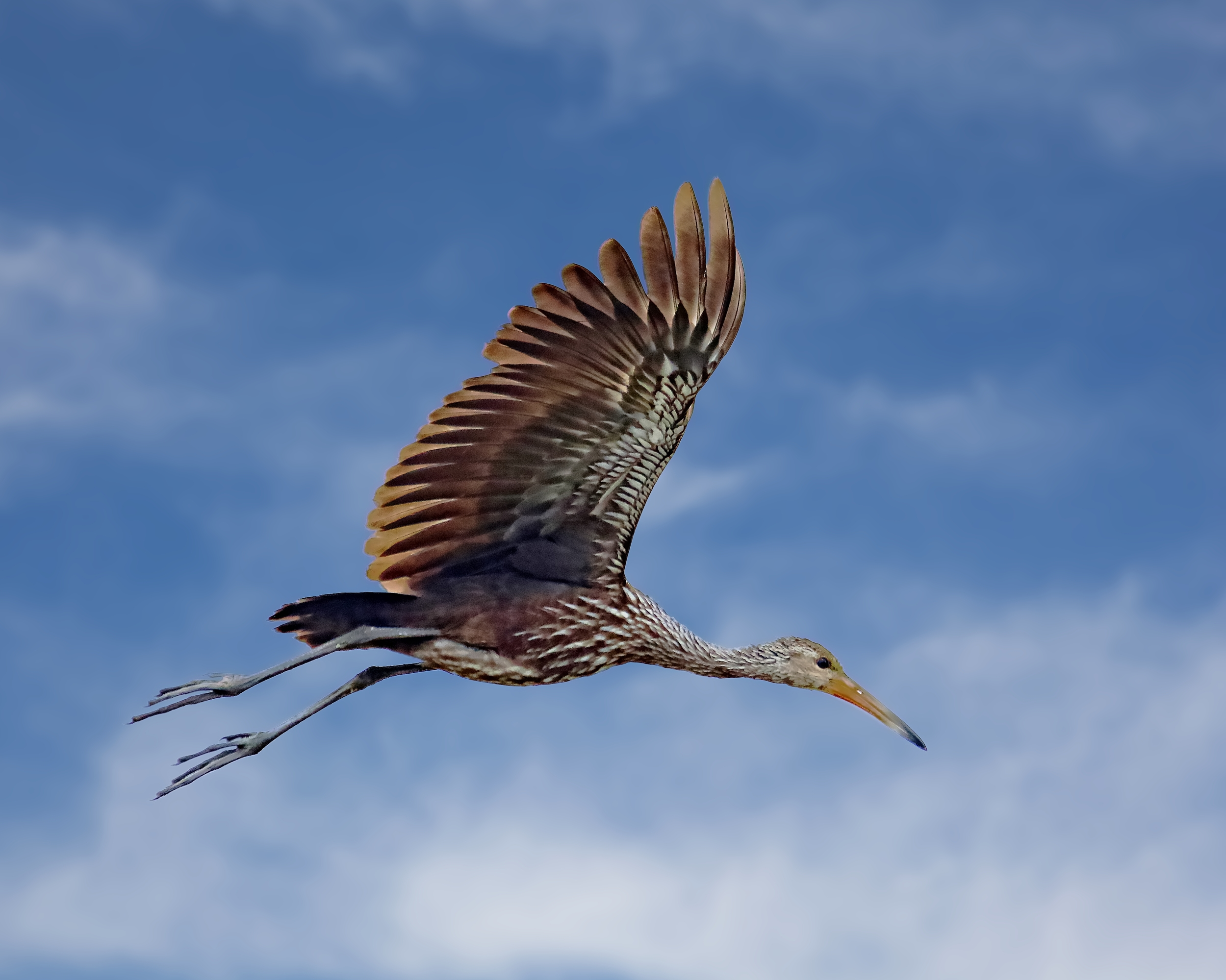 Limpkin in flight..