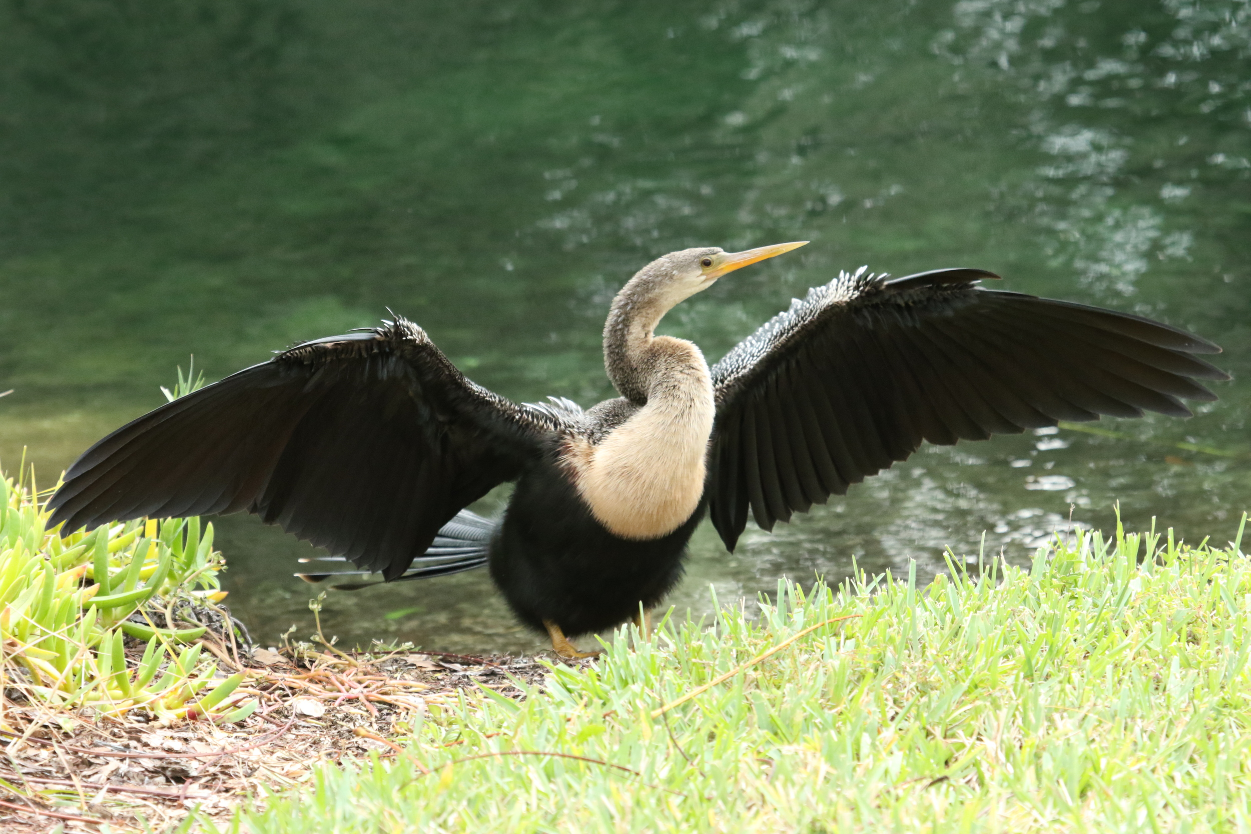 Female Anhinga at the Ringling Brothers Circus Museum in Sarasota..
