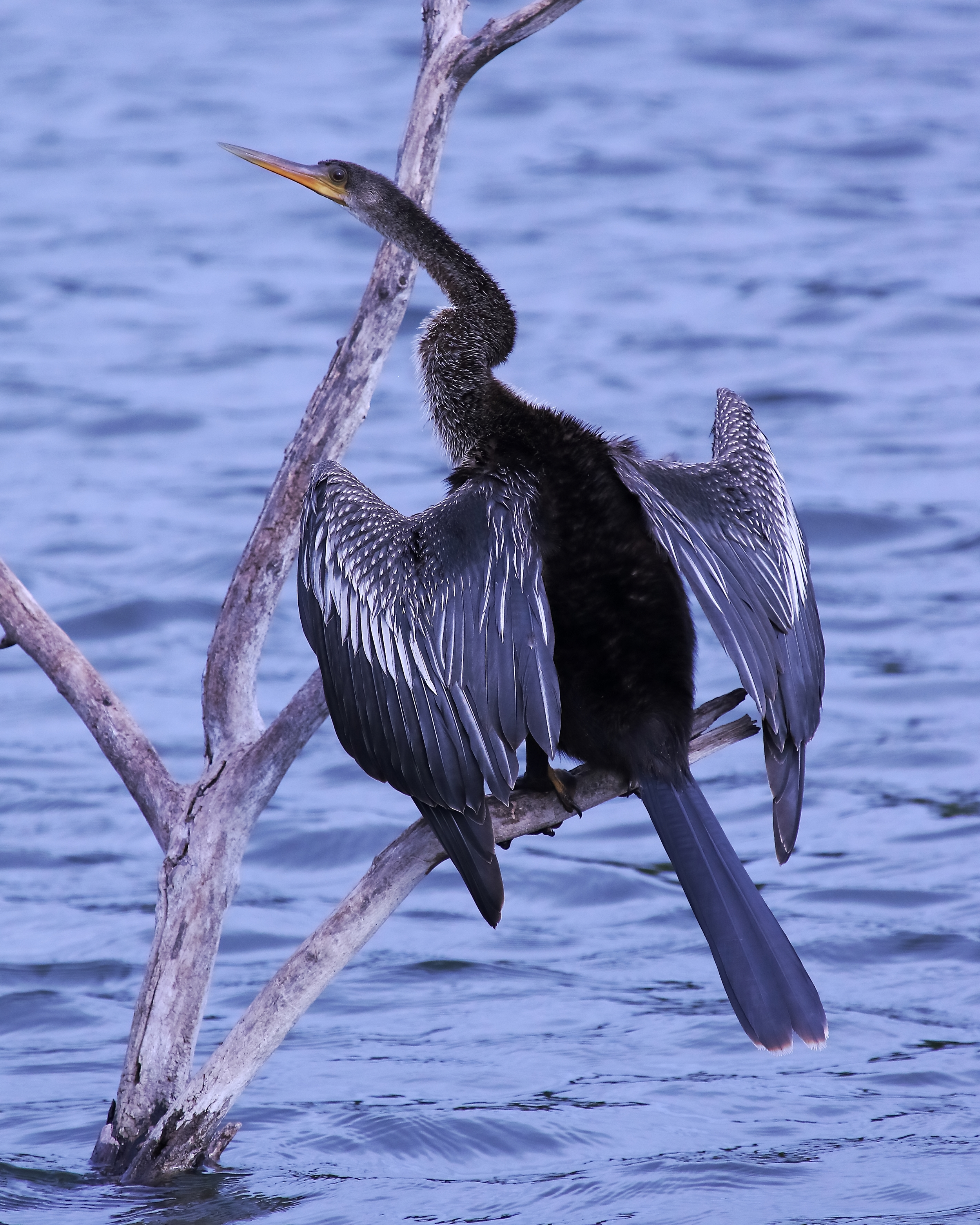 Male Anhinga in classic pose drying its wings, Venice Bird Rookery