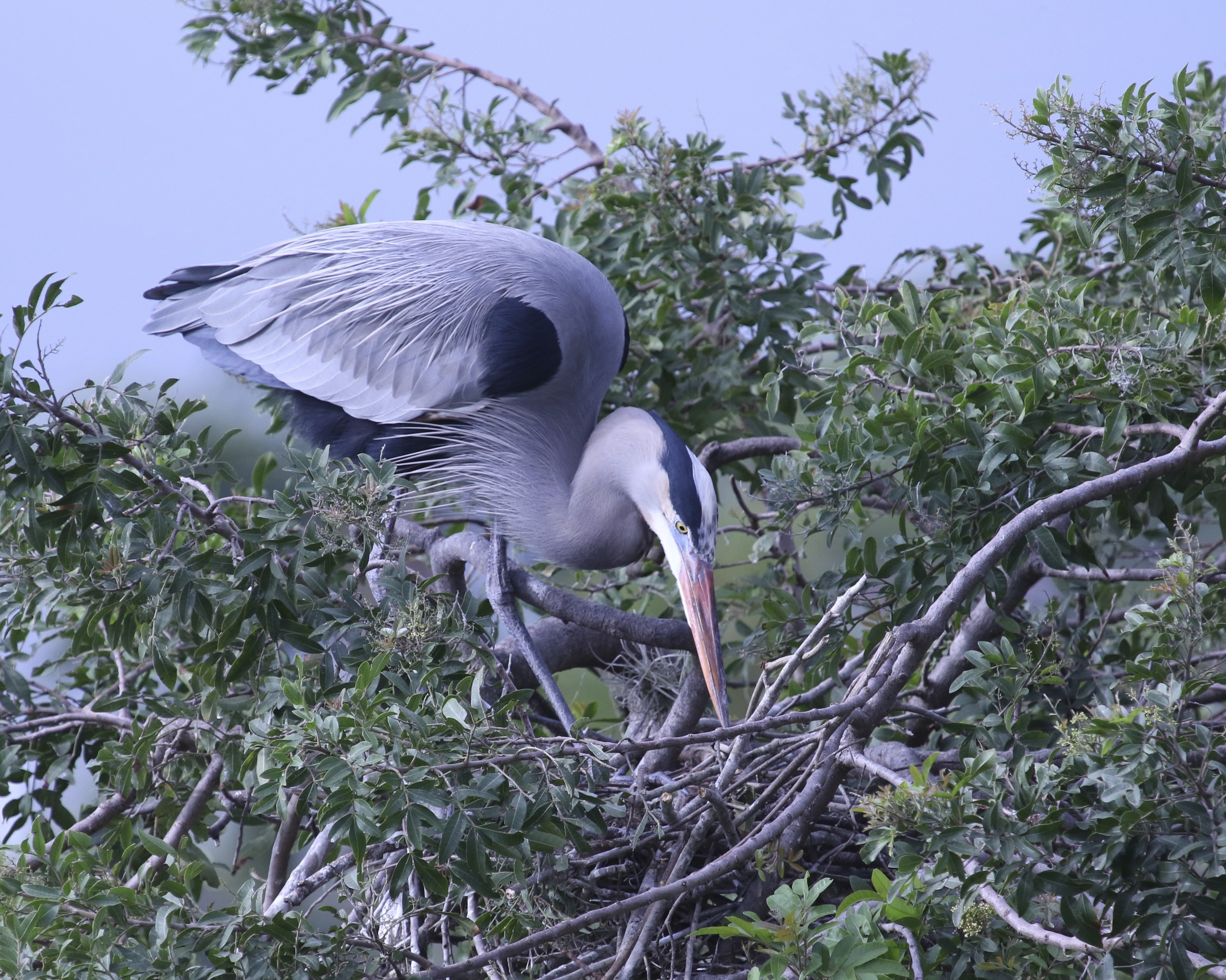 A Great Blue Heron prepares its nest for a new generation soon to be hatched.