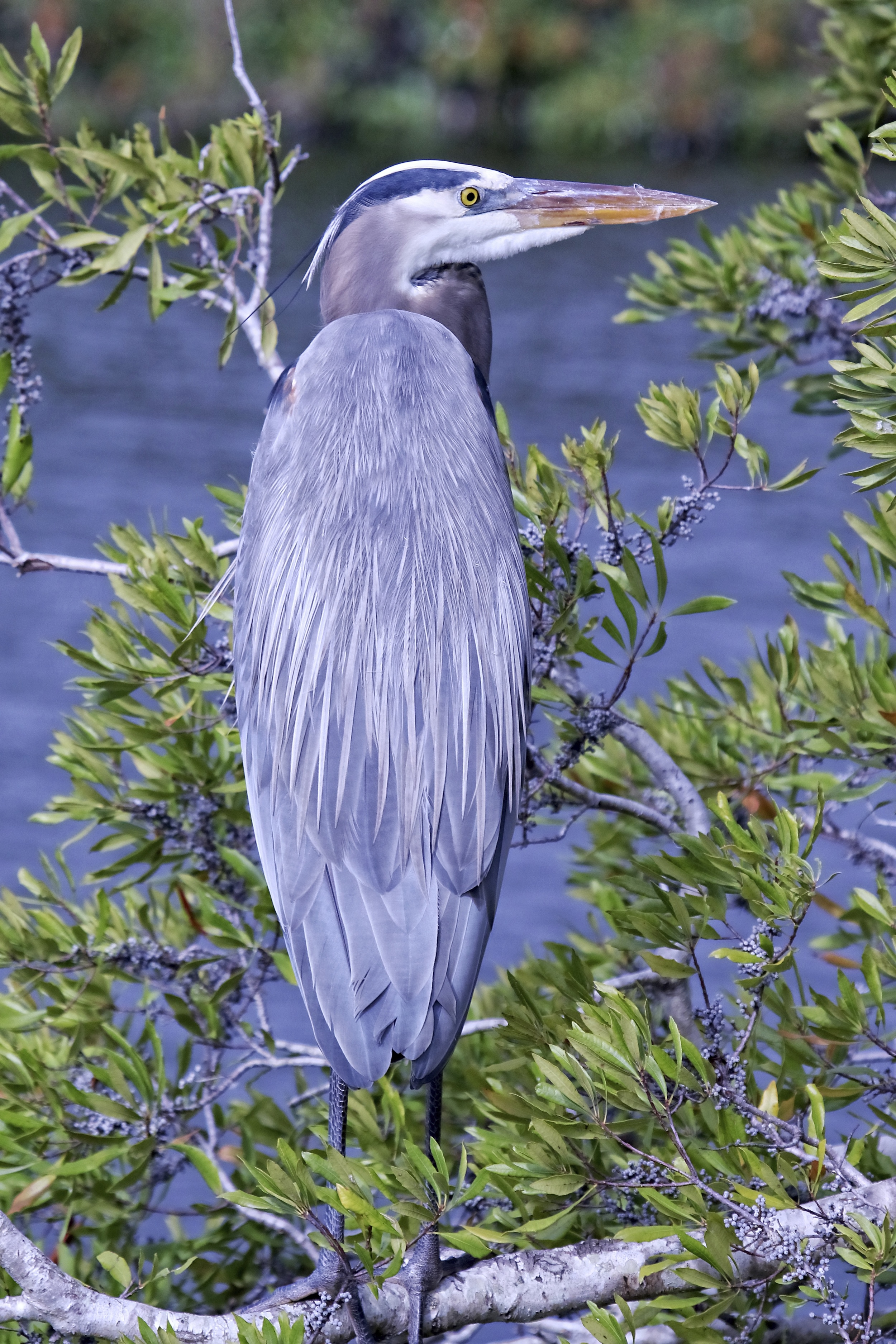 This Great Blue Heron looks a lot like Santa..