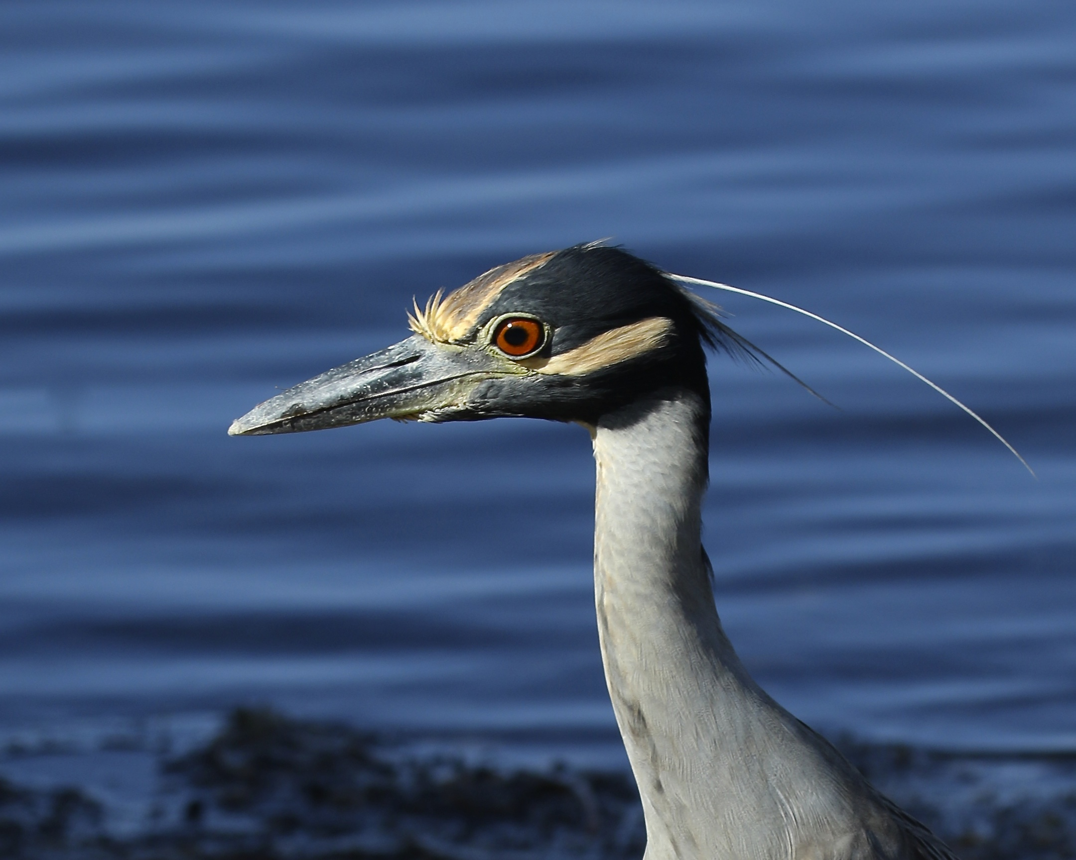 A Yellow Crowned Night Heron spots a crab with its keen red eyes