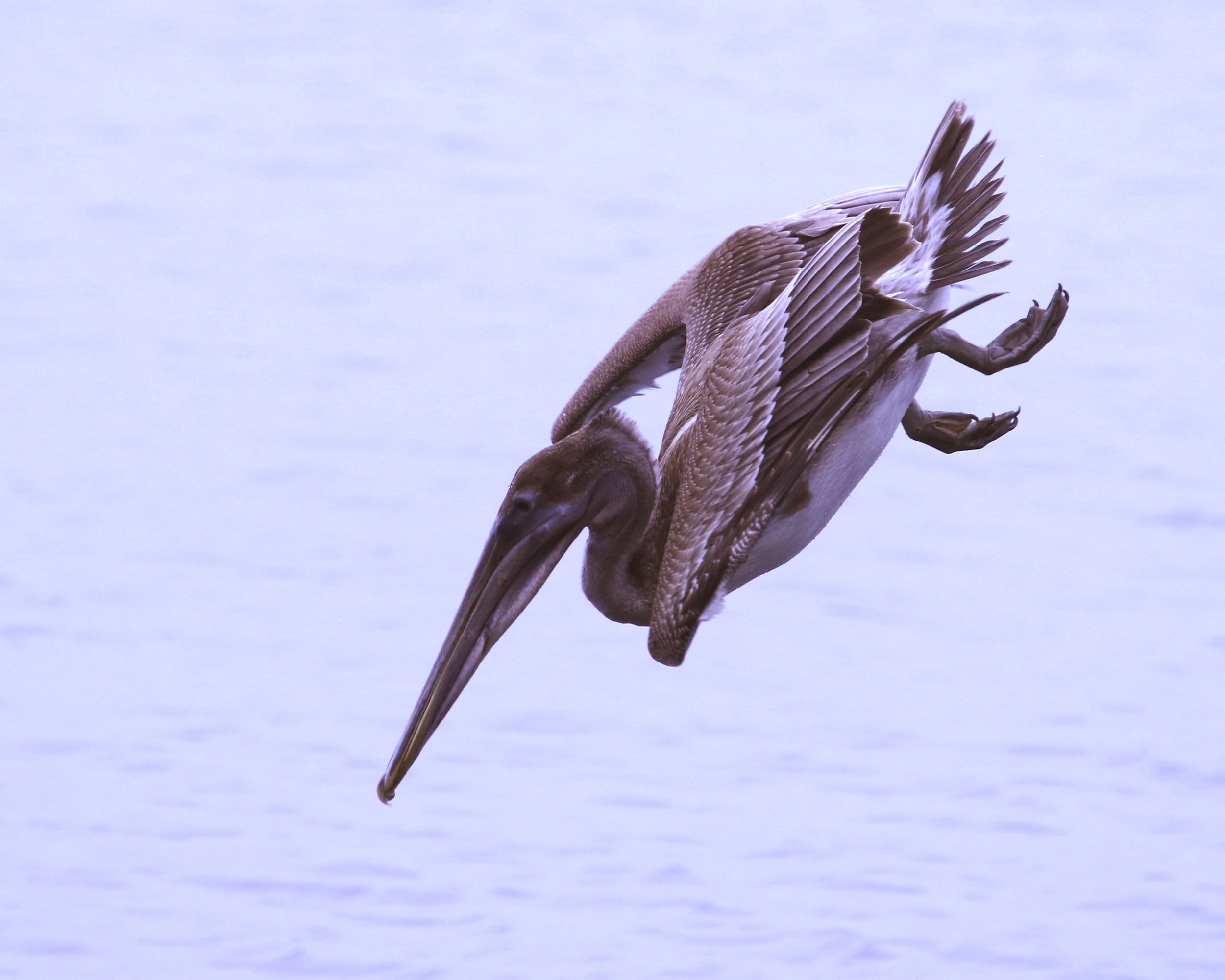Brown Pelican demonstrates its own aerobatic prowess at the Ringling Brothers mansion.
