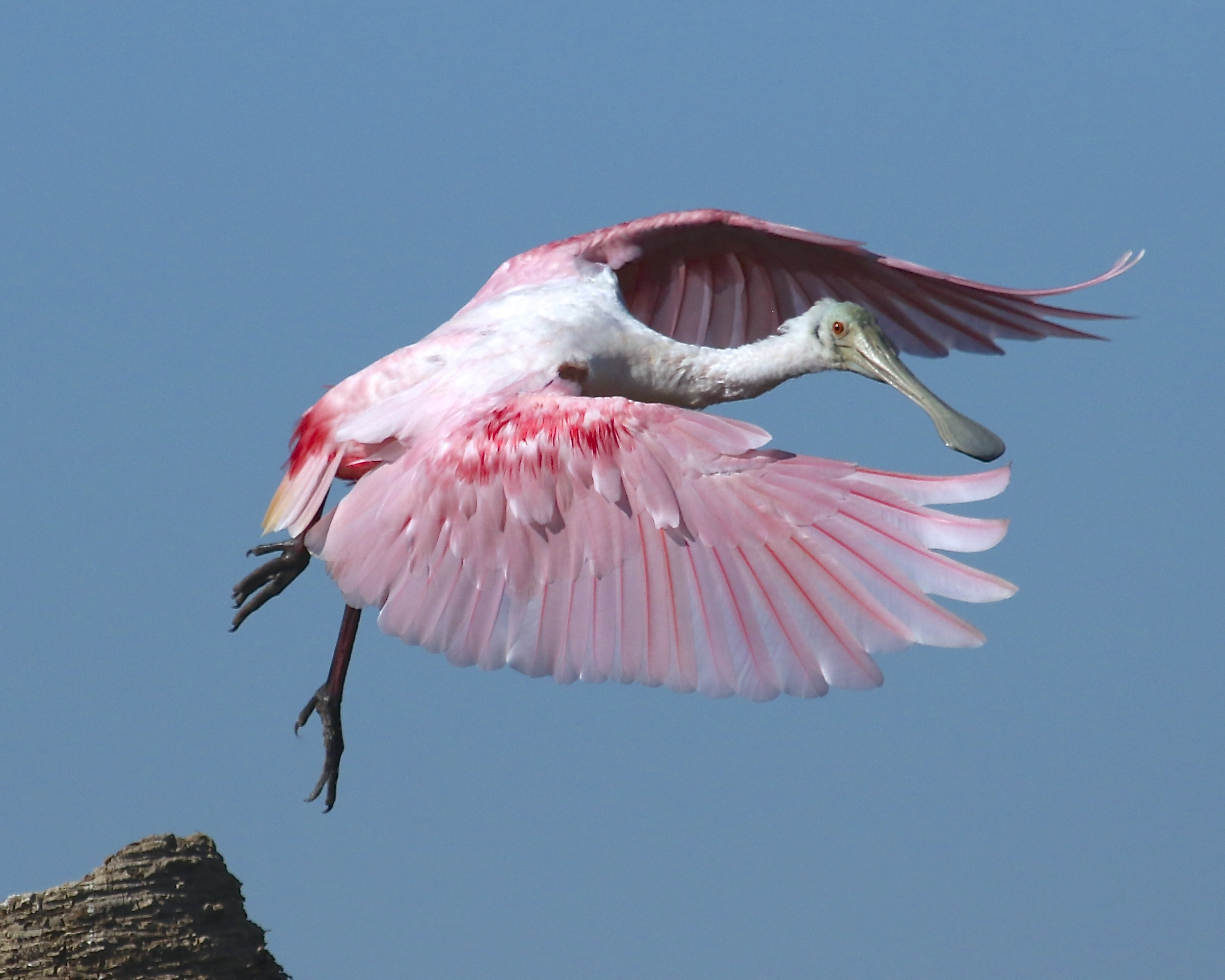 Roseate Spoonbill liftoff! Talk about poetry in motion..