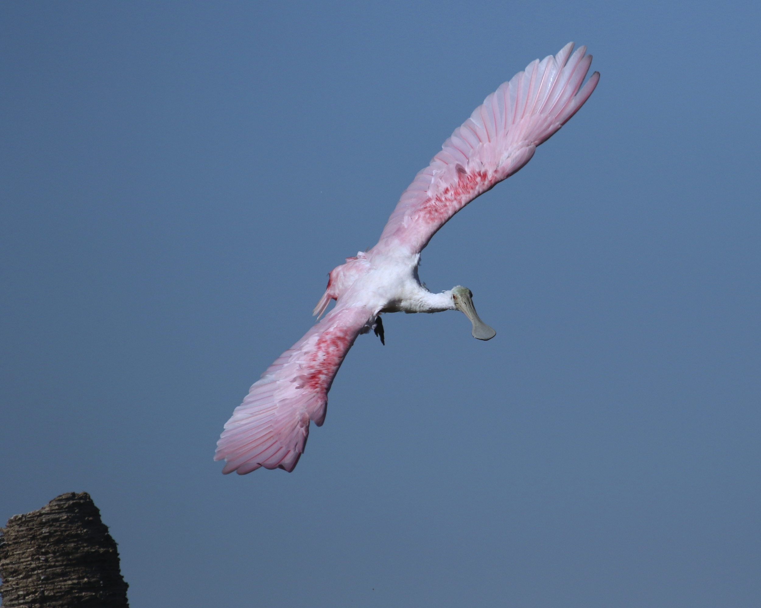 Spreading those graceful pink wings...