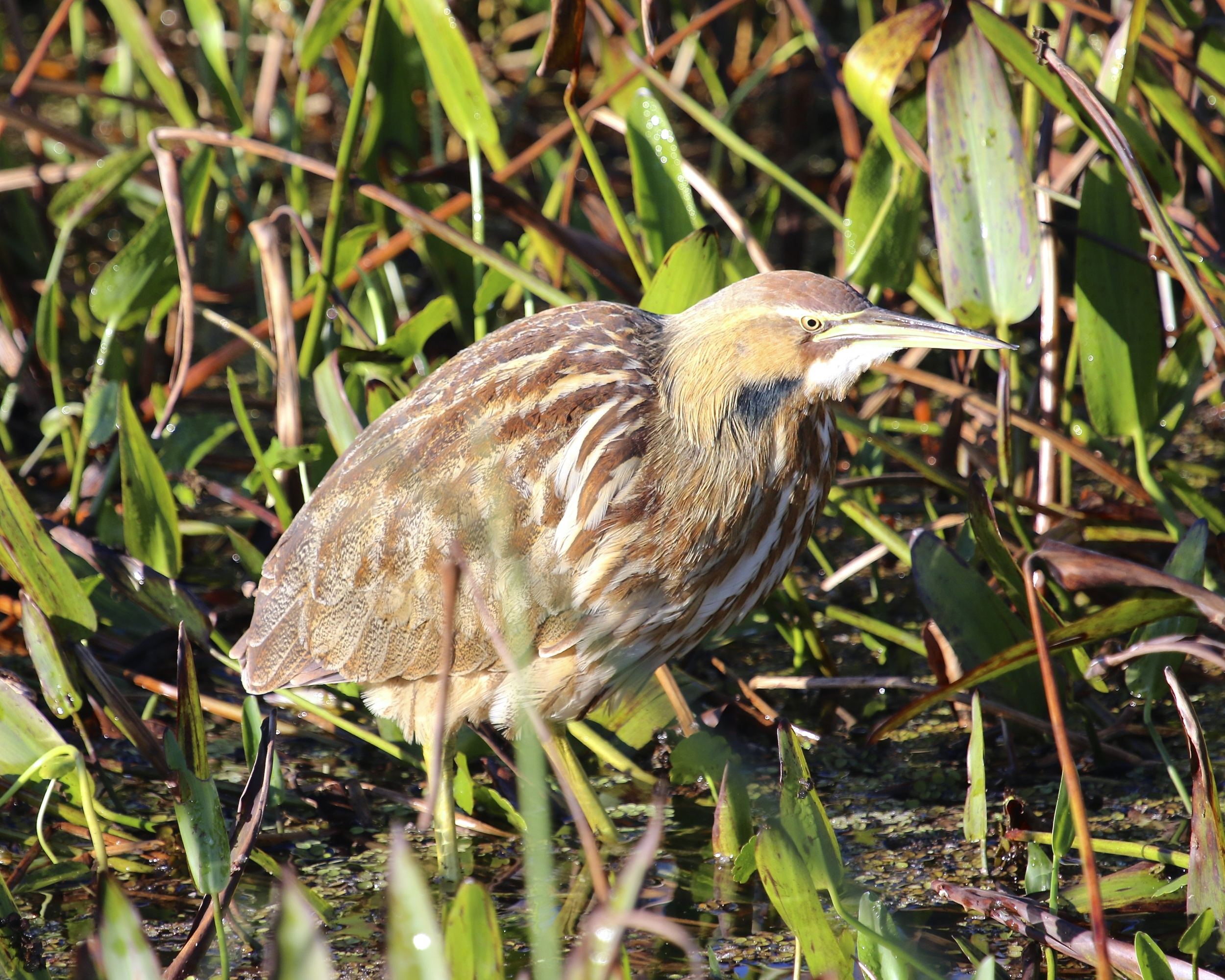 An American Bittern poses for the photographers in the bright morning sun.