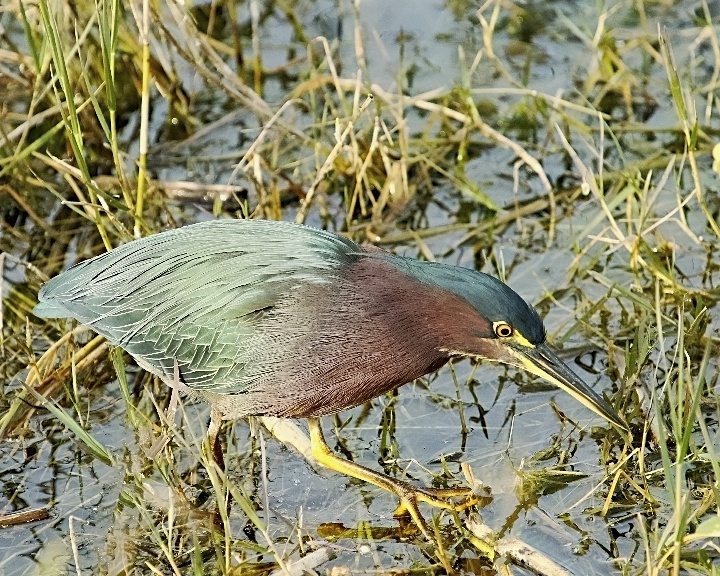 Little Green Heron before visit to Janet the hairdresser!