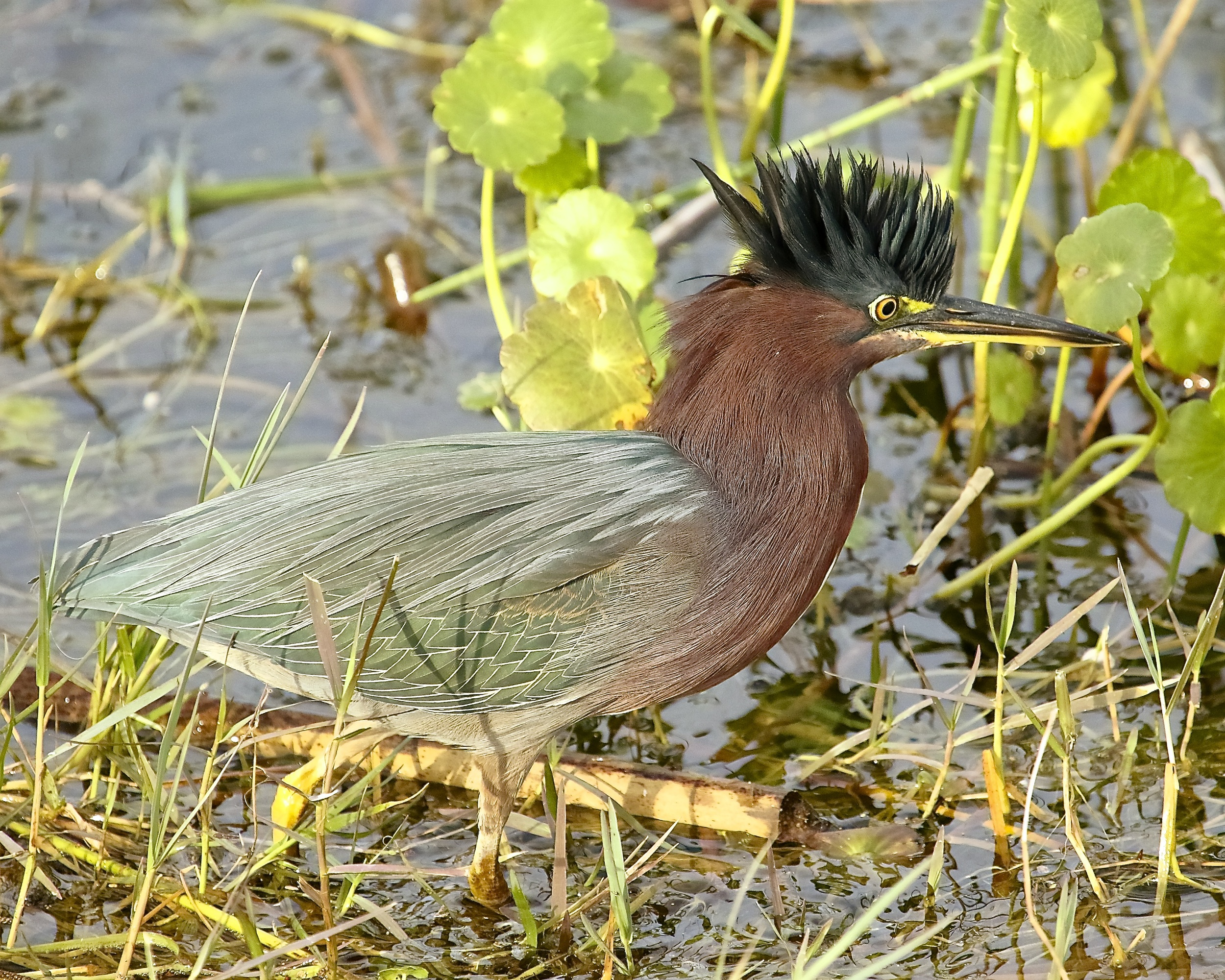 Little Green Heron after visit to Janet the hairdresser ! What a doo!
