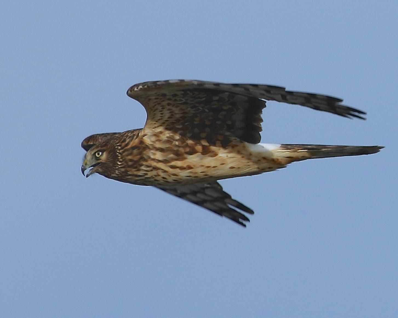 Northern Harrier female surveys the marsh wetlands for opportunity.