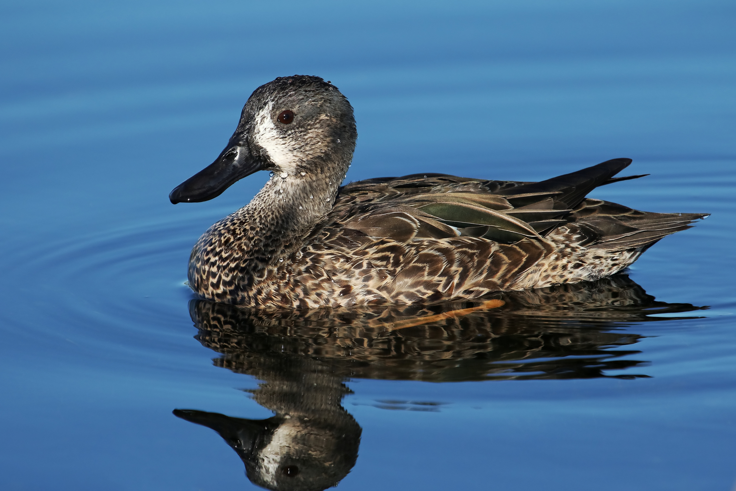 Blue-winged Teal female duck paddles precariously close to an alligator nearby.