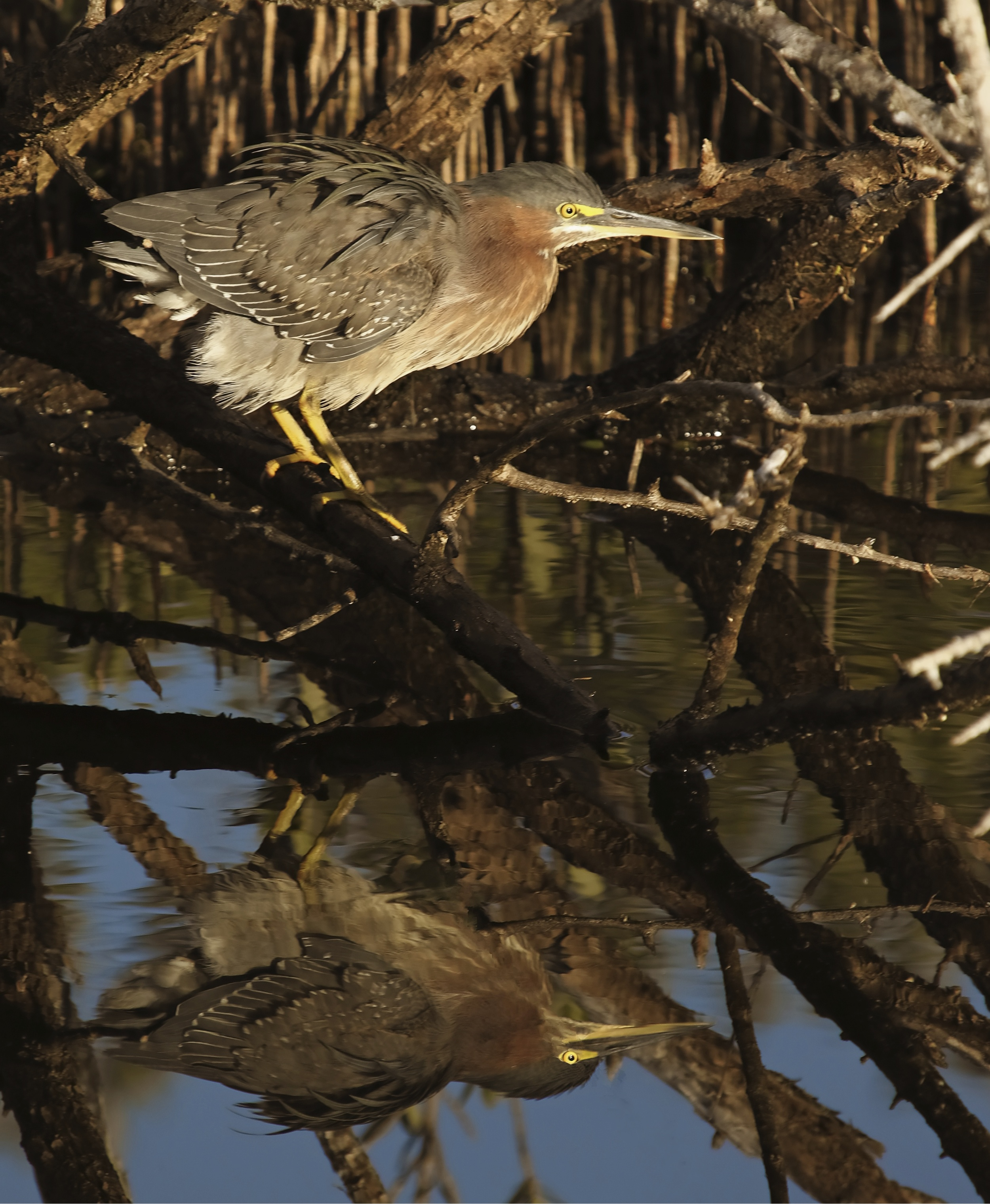 A Little Green Heron reflects in the morning light.