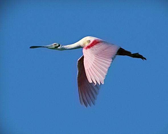 Roseate Spoonbill fly by..