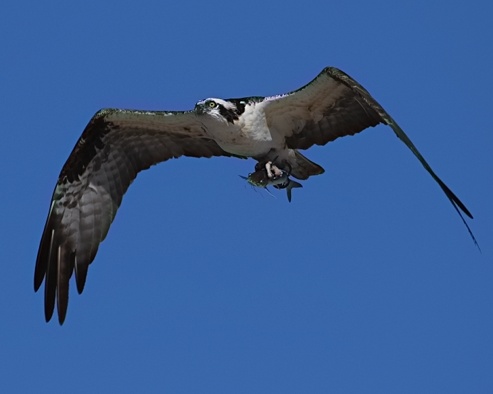 "Osprey with ""carry out"" catfish.."