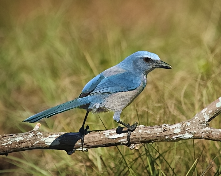 My first Florida Scrub-Jay…it hops down on the perch Jack set up and spots an acorn..